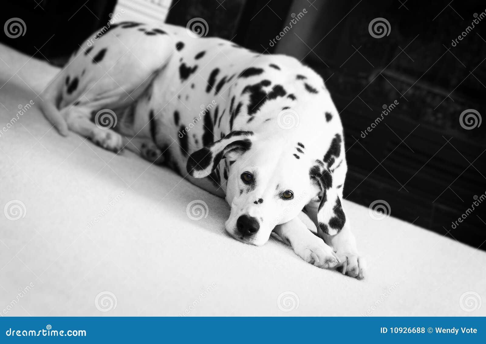 Dalmatian ковра кладя белизну