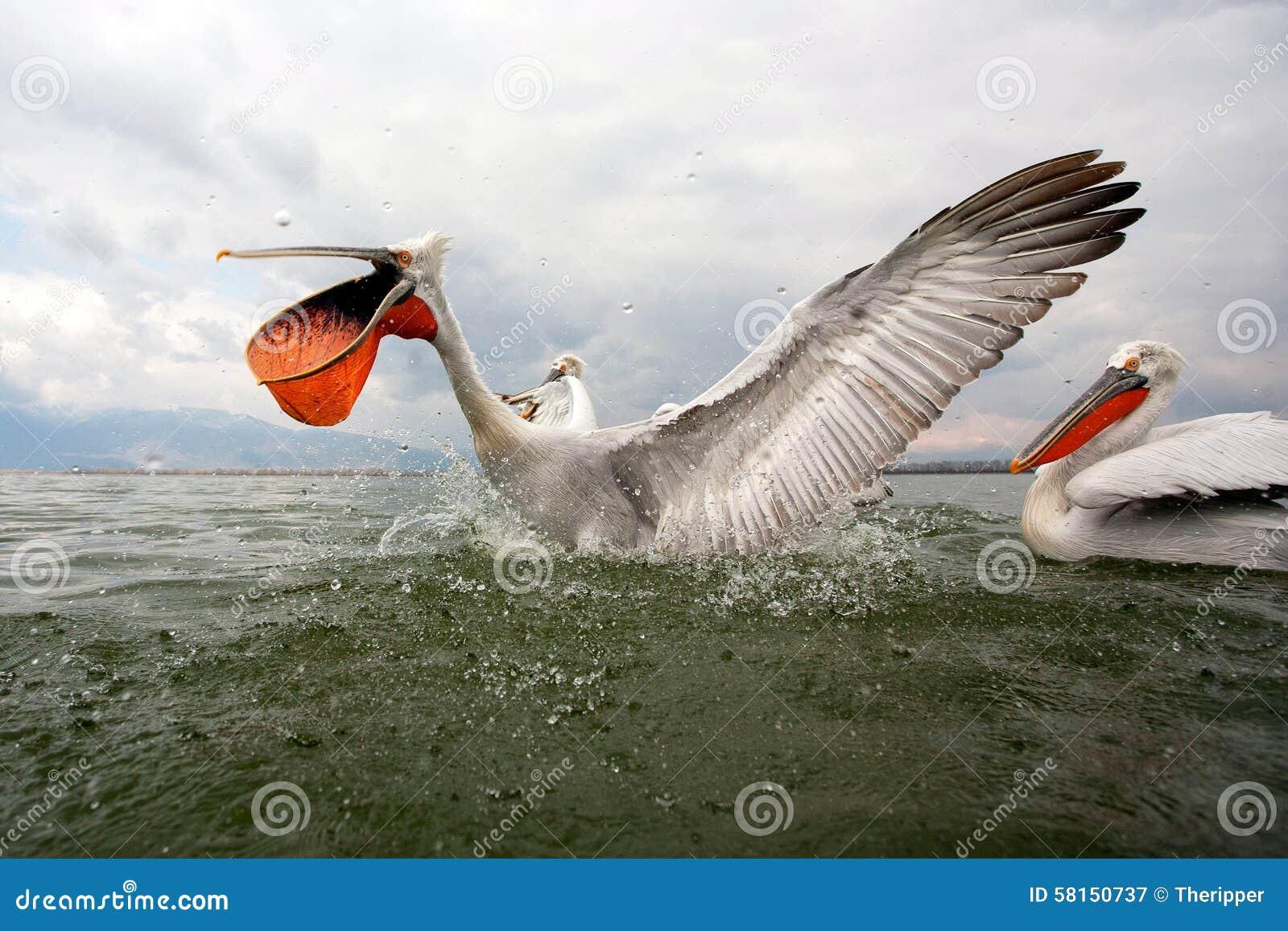 Dalmatian пеликаны