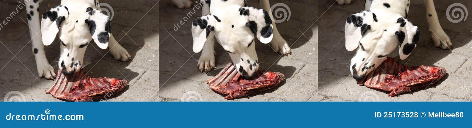 Dalmatian dog chewing on rib bone