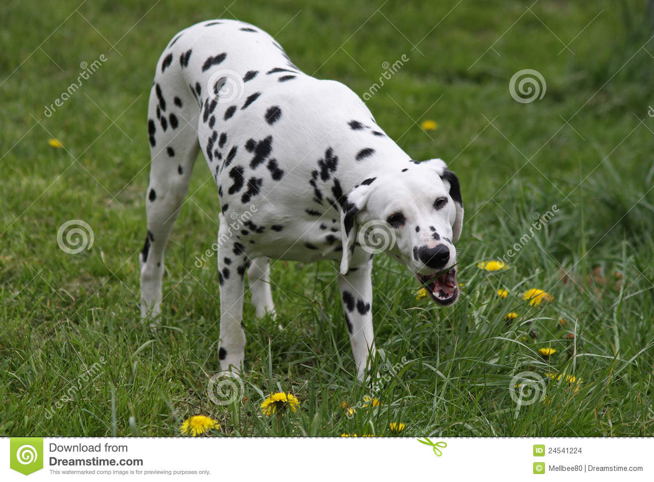 Dogs Eating Grass Seeds