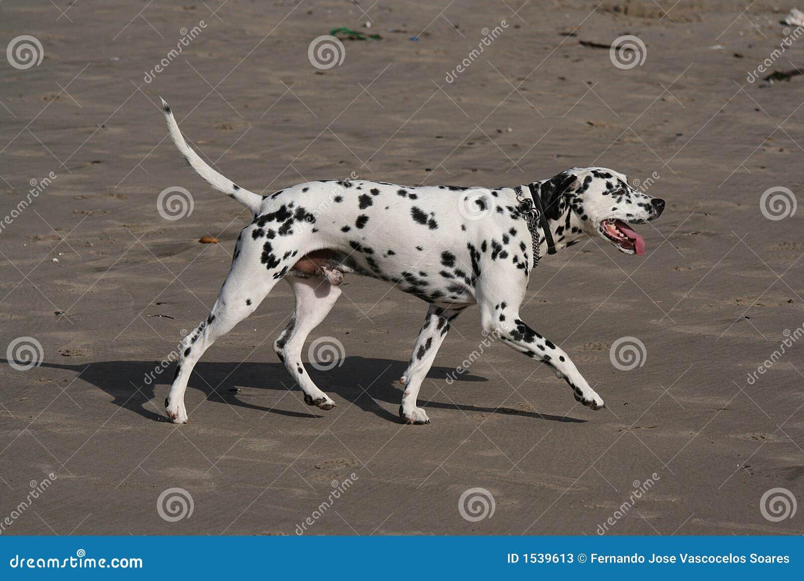 how to make a dog walk