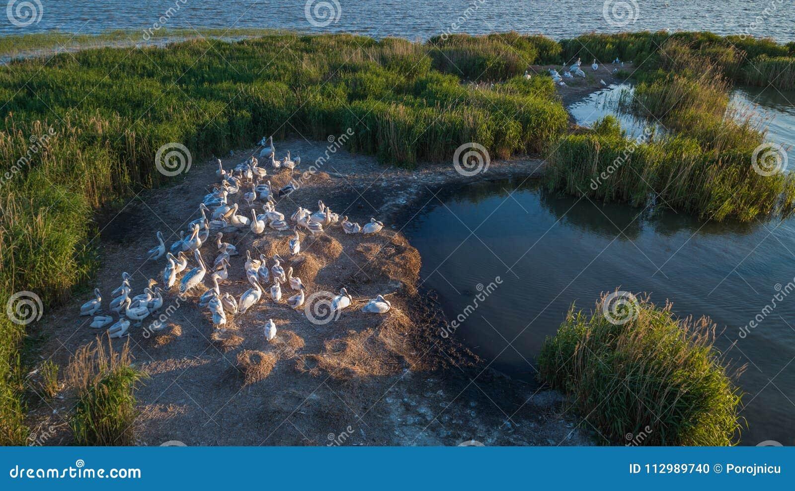 Dalmatian pelicans pelecanus crispus in Danube Delta Romania