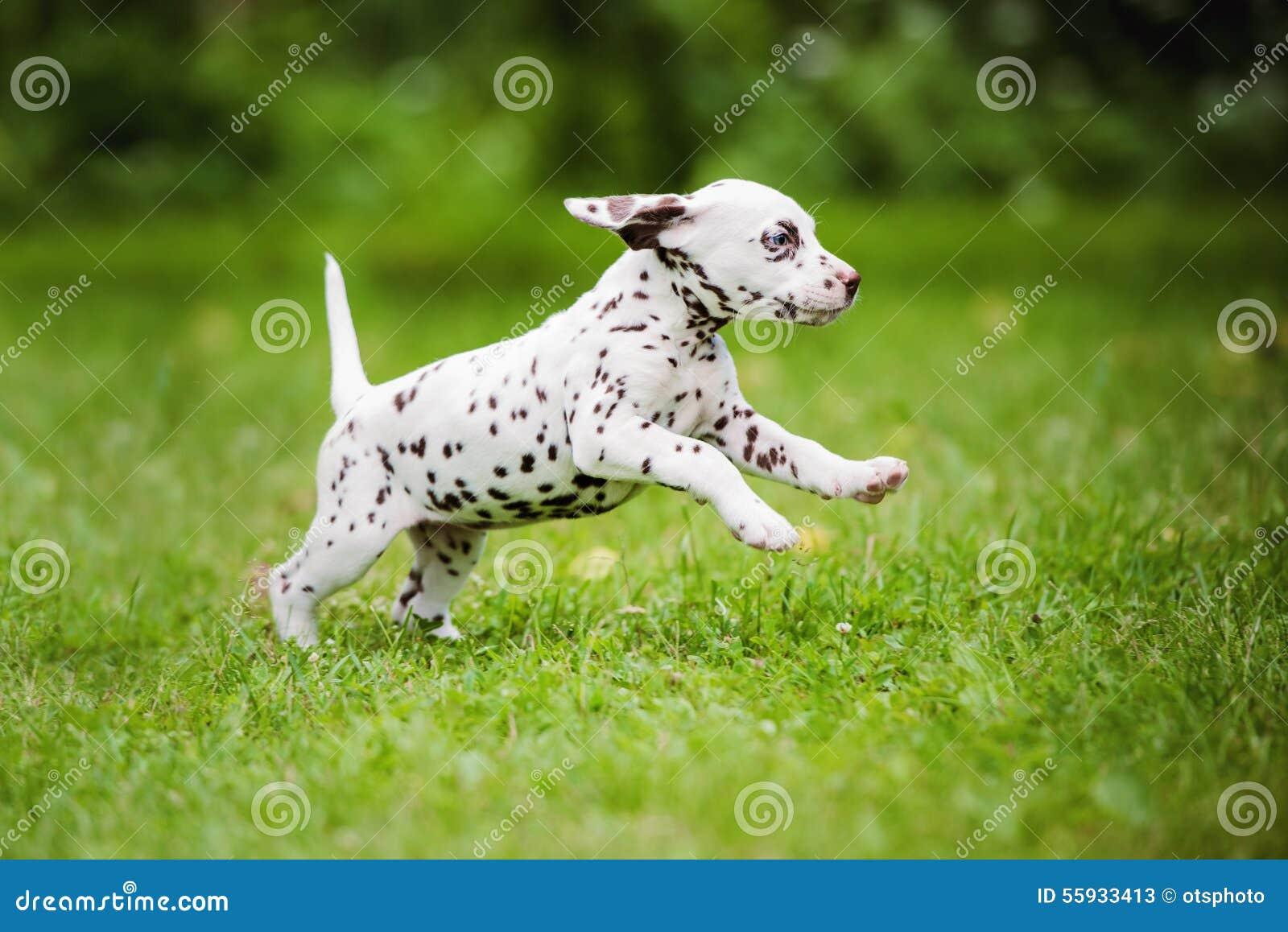 Dalmatian puppy running on grass