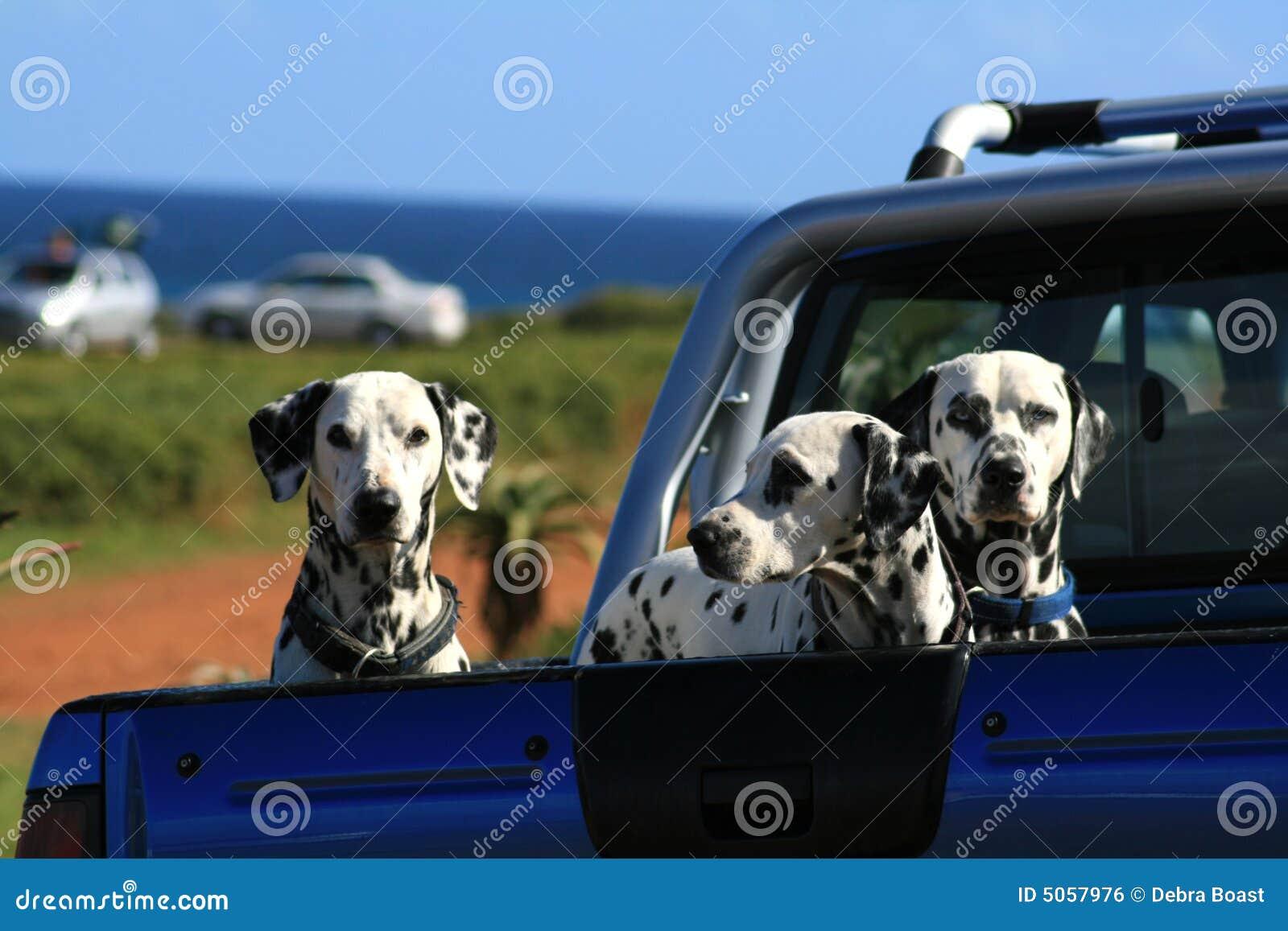 Dalmatians a bordo