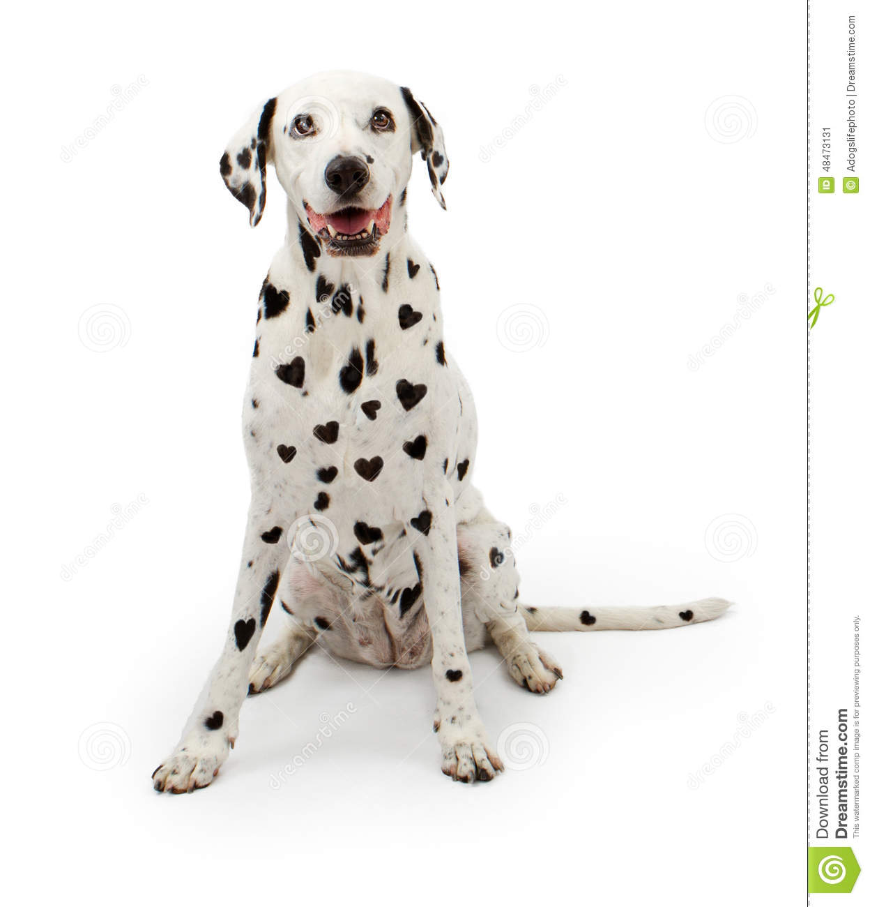 Dalmatian dog with heart-shaped black spots on its fur sitting on a ...
