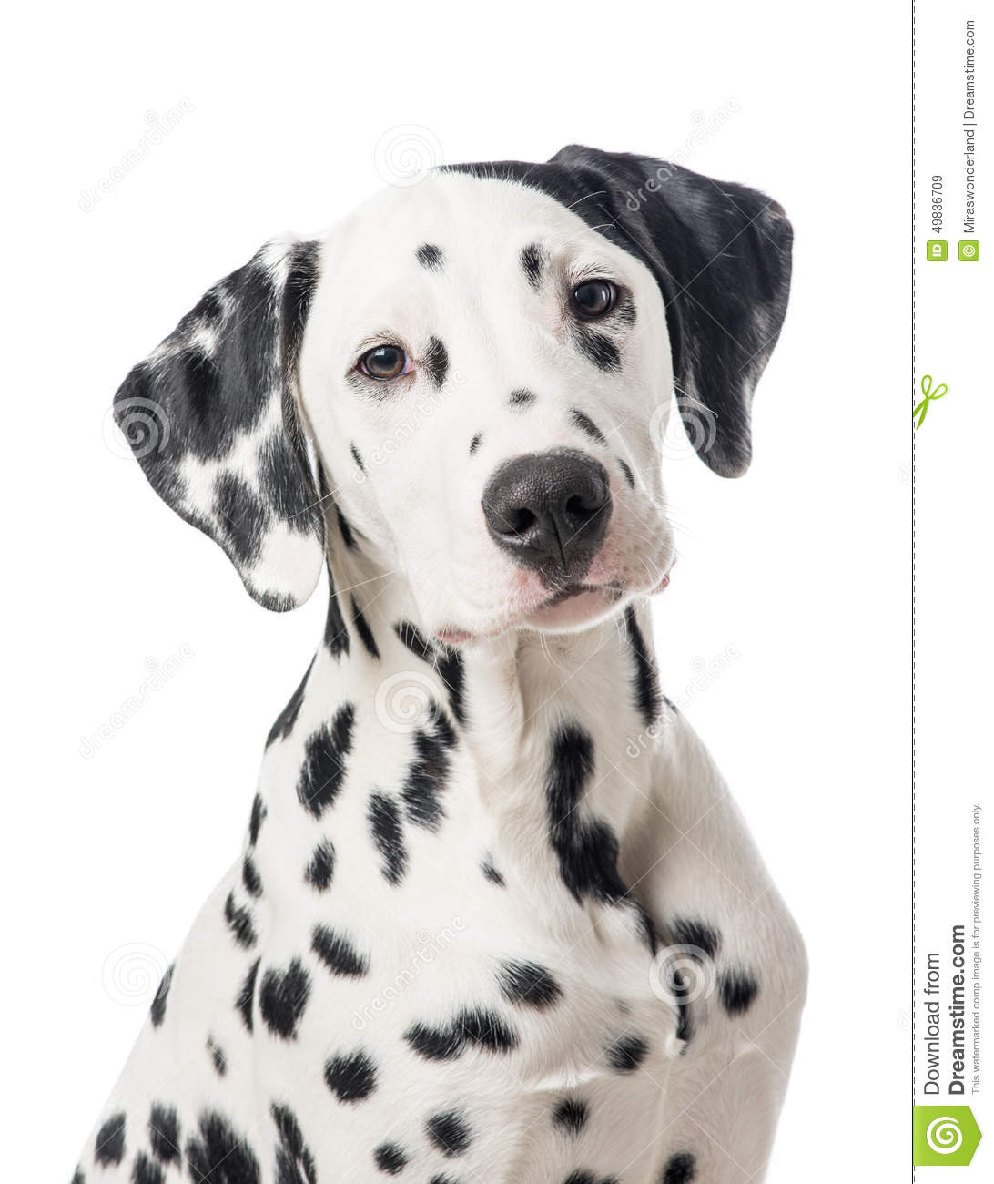 Dalmation dog portrait