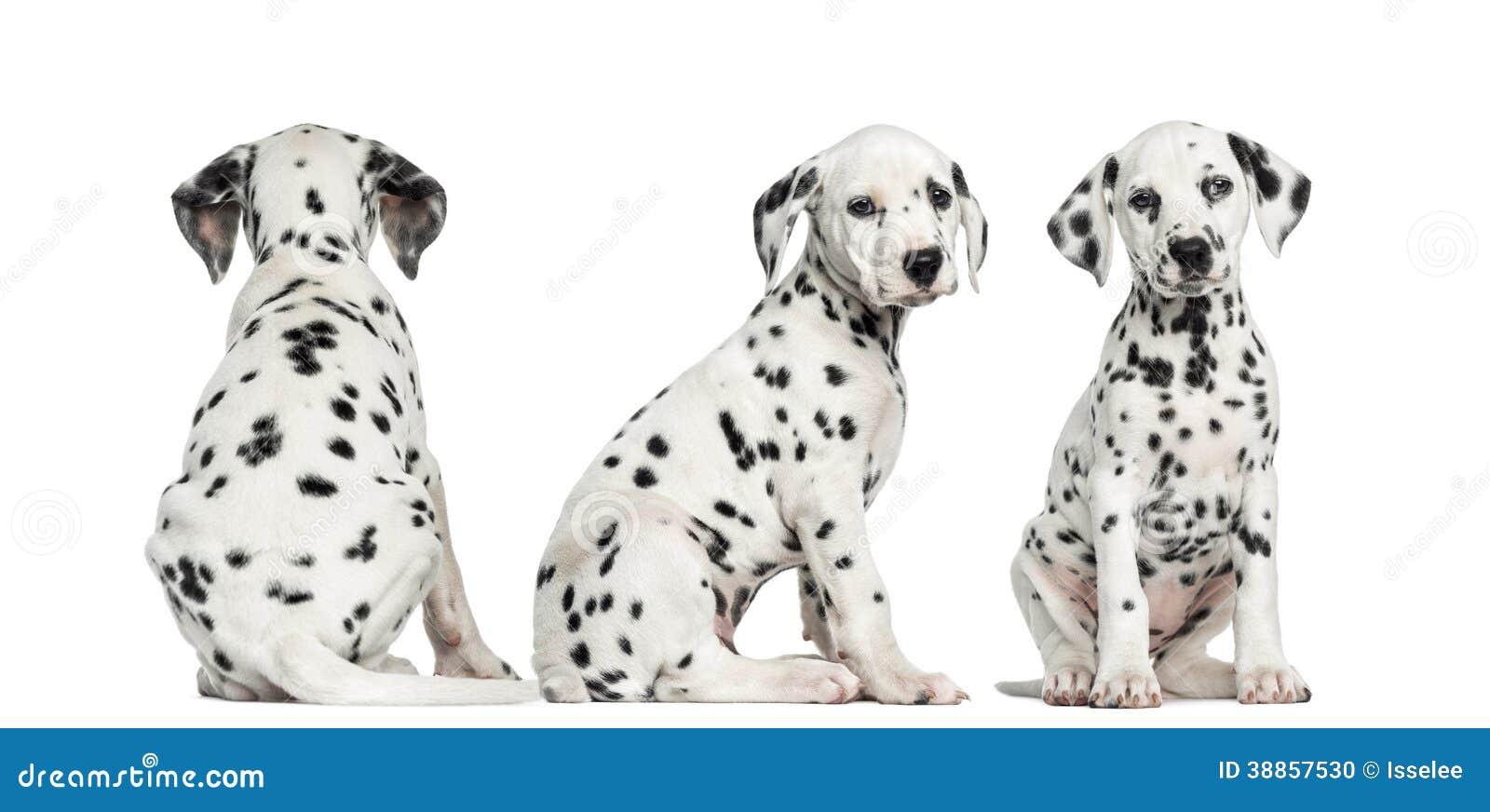 Dalmatyńscy szczeniaki siedzi w różnych pozycjach