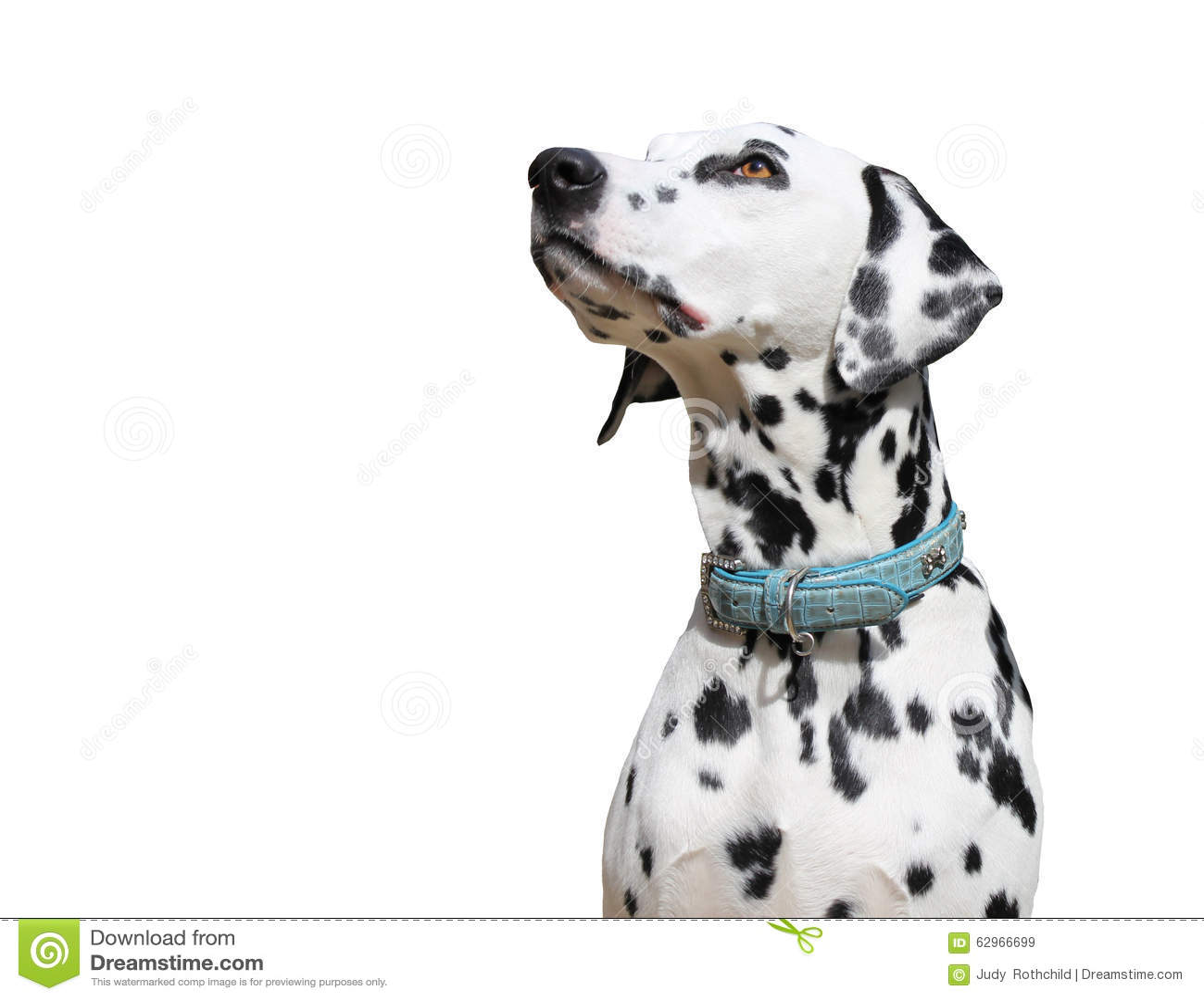 Dalmatyński pies odizolowywający na białym tle