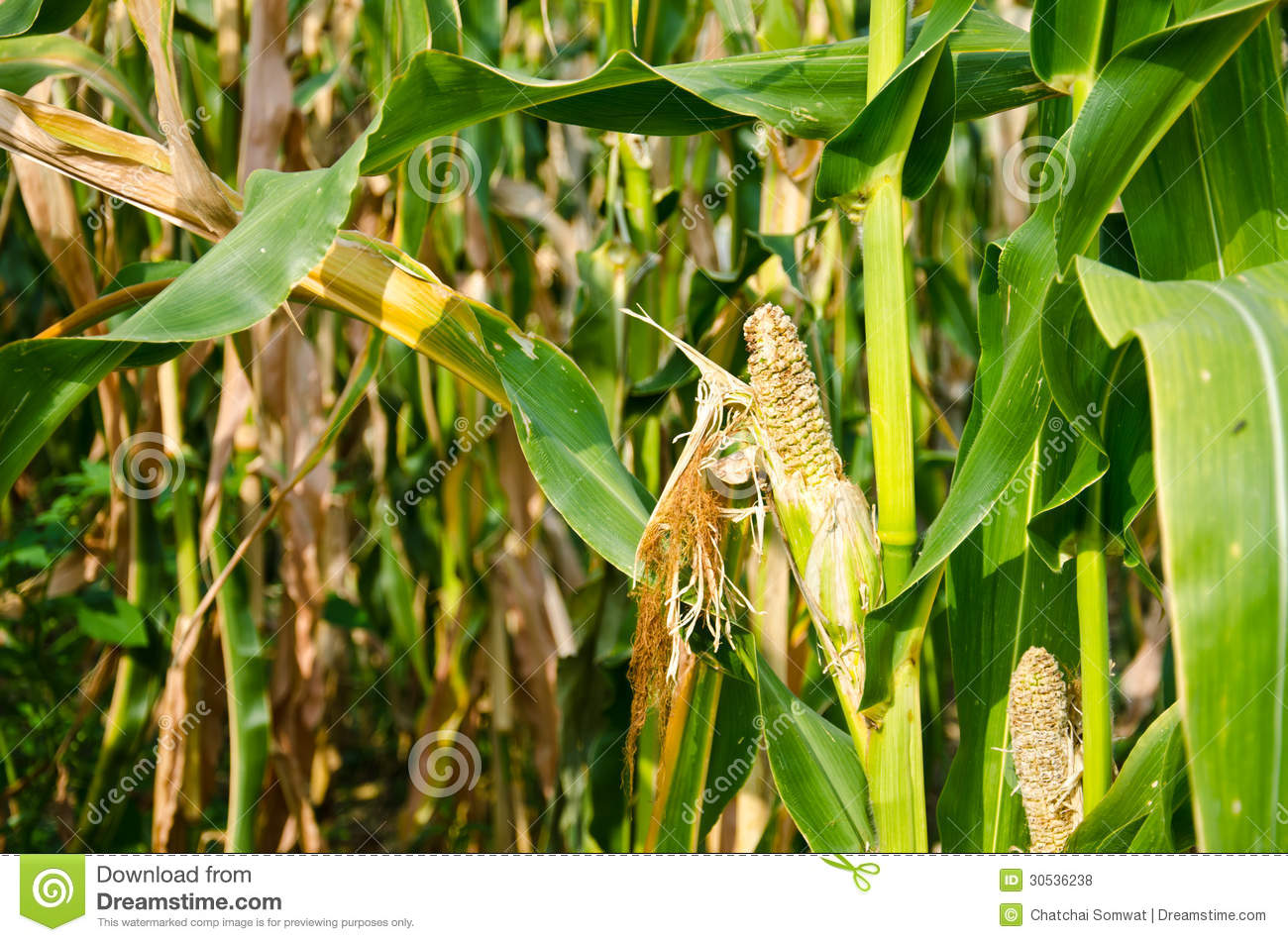 Damage Of Cornfield Royalty Free Stock Photos - Image ...