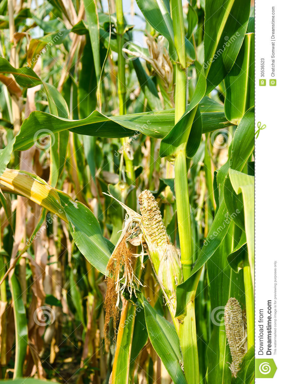 Damage Of Cornfield Stock Photos - Image: 30536523