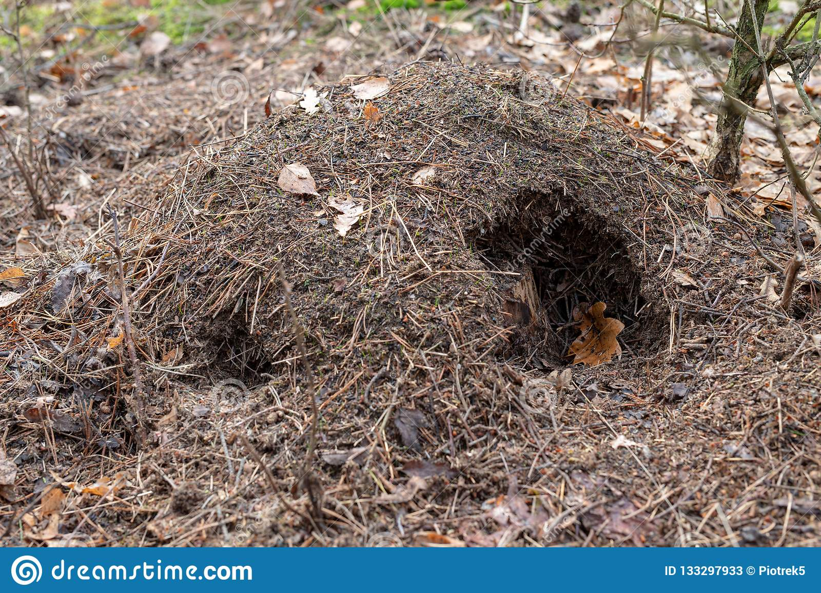 A damaged anthill by a wild boar in the forest. Abandoned place