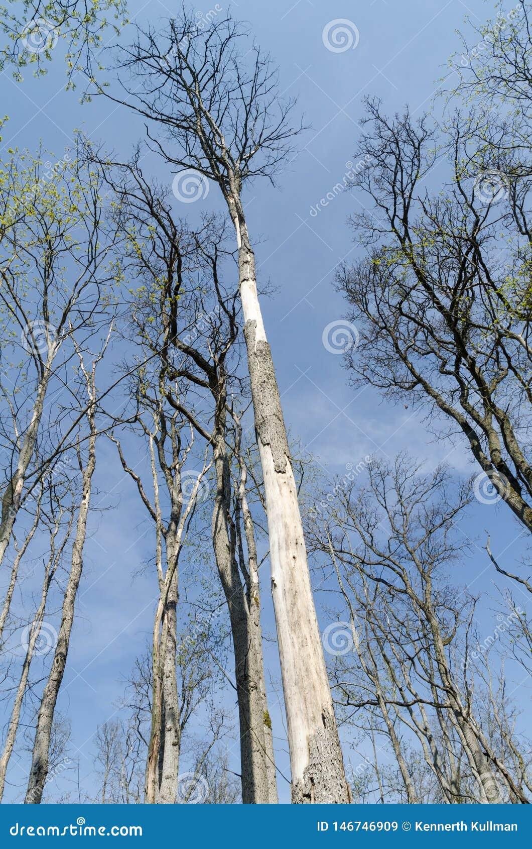 Damaged elm trees by dutch elm disease