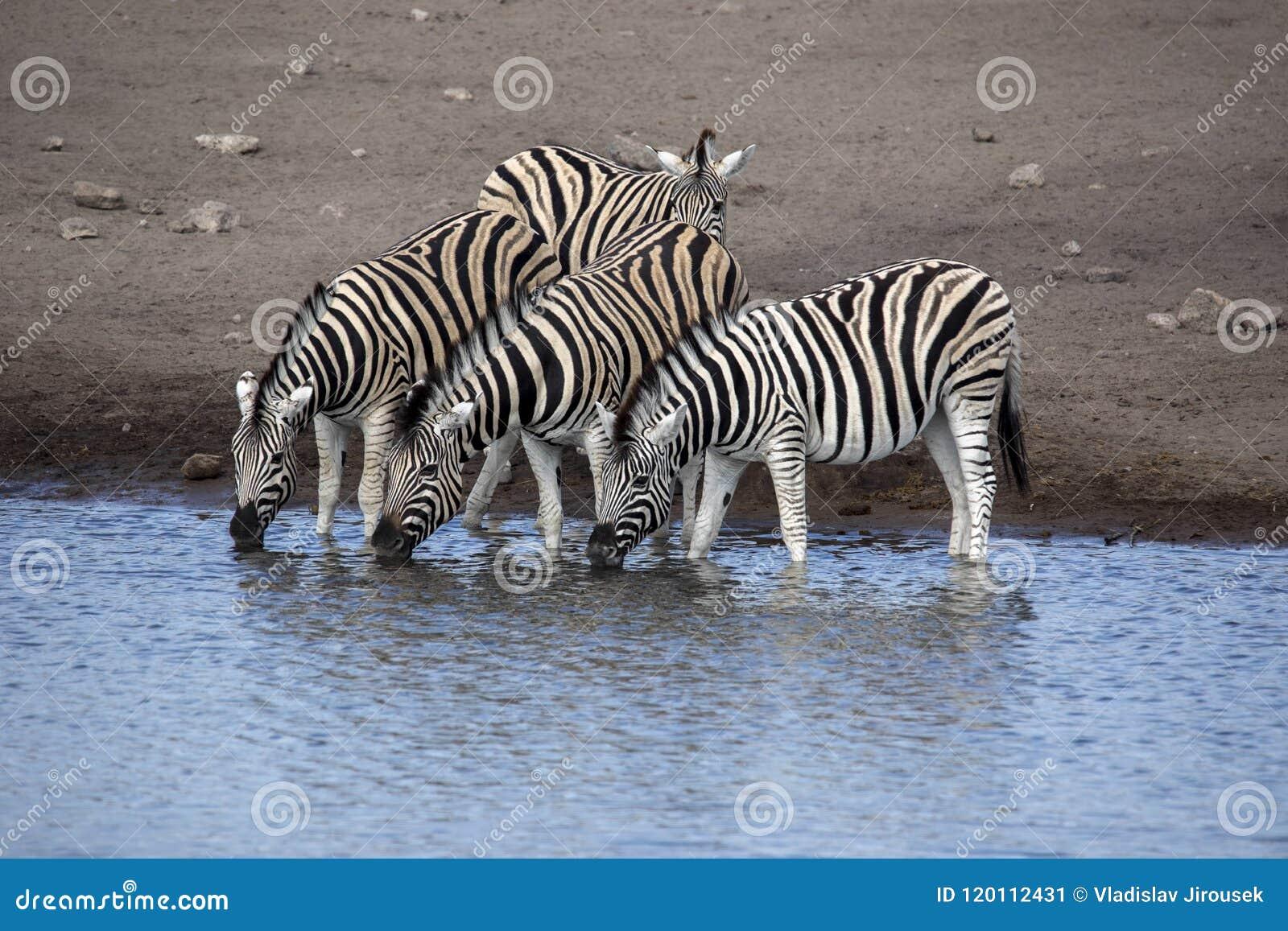 Damara zebra herd, Equus burchelli antiquorum, drinking in the waterhole Etosha National Park, Namibia