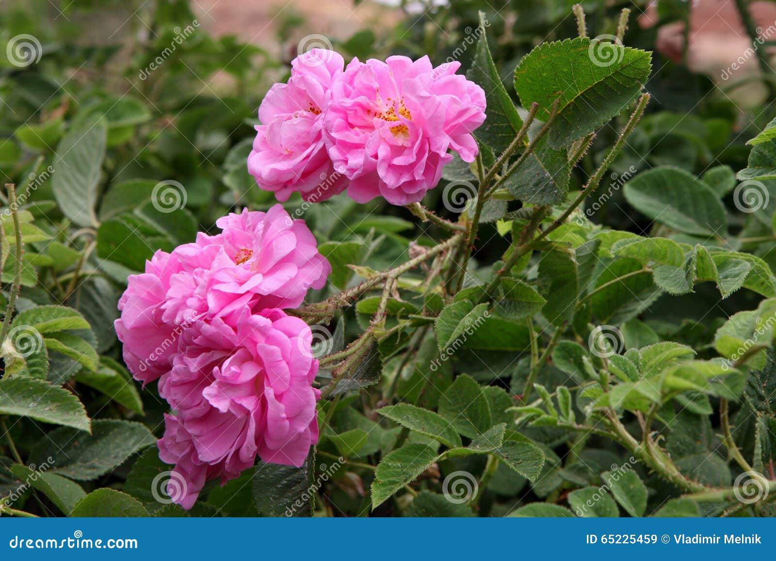 Damaszek menchii róża