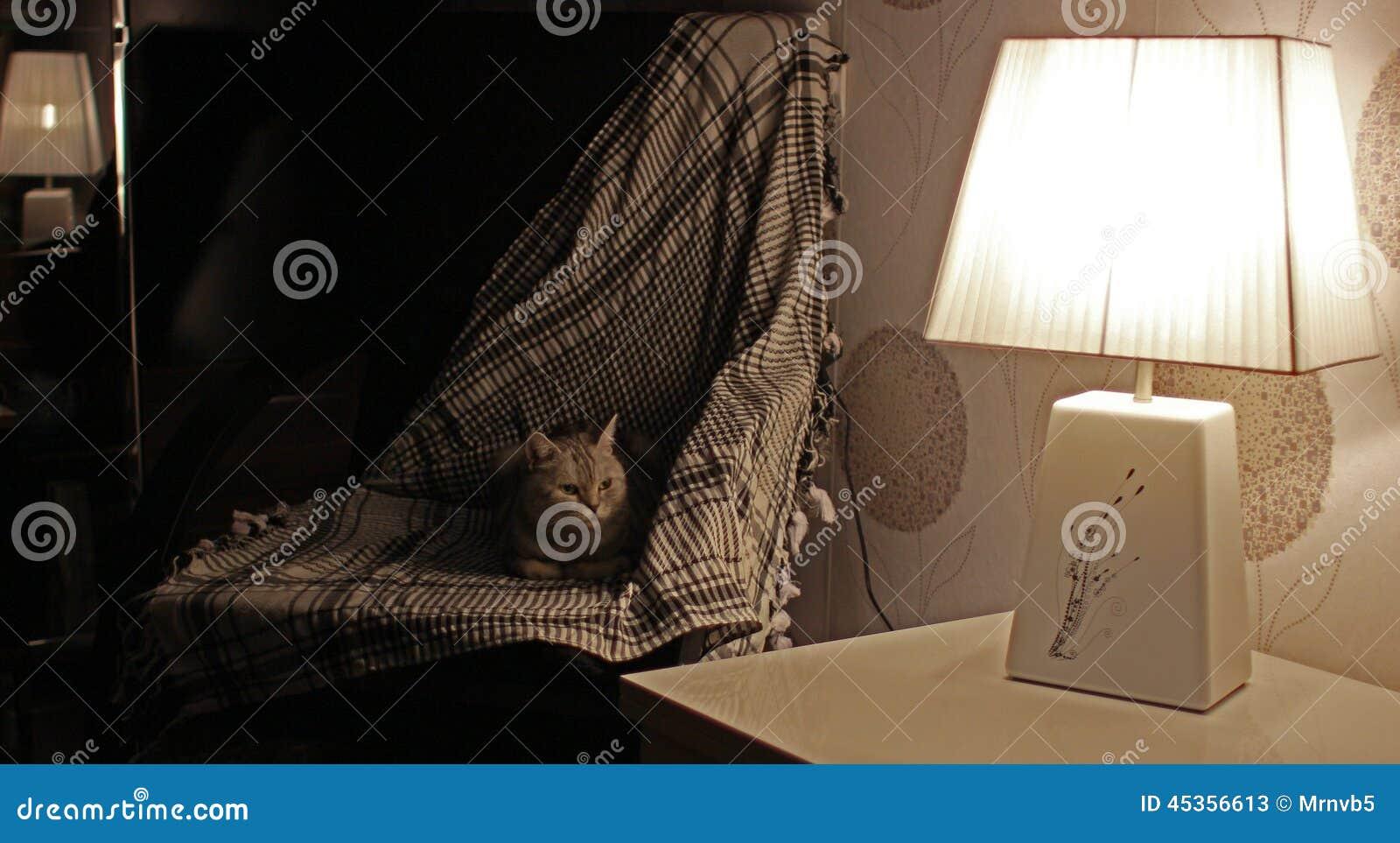 Dame-chat britannique ayant un repos dans un fauteuil