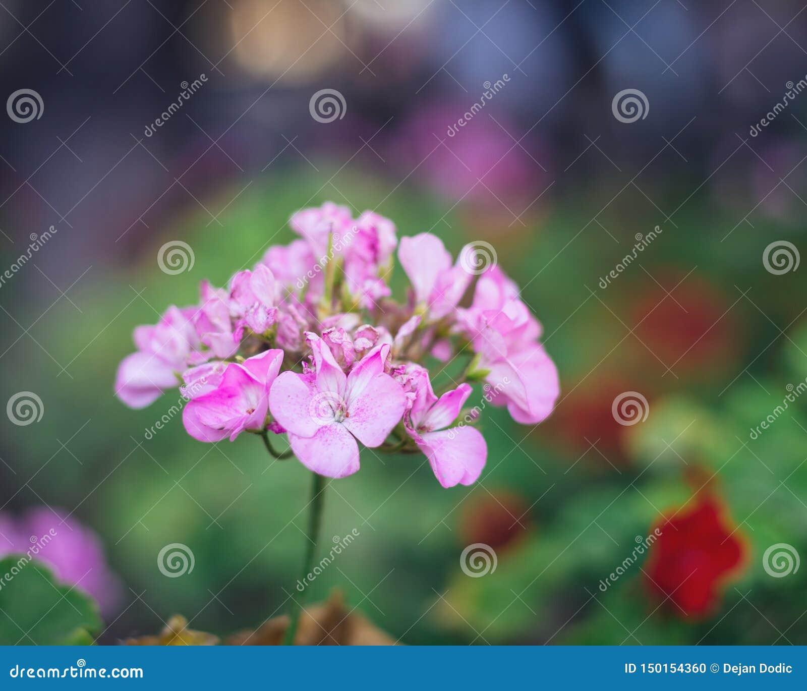 Dame`s rocket flower