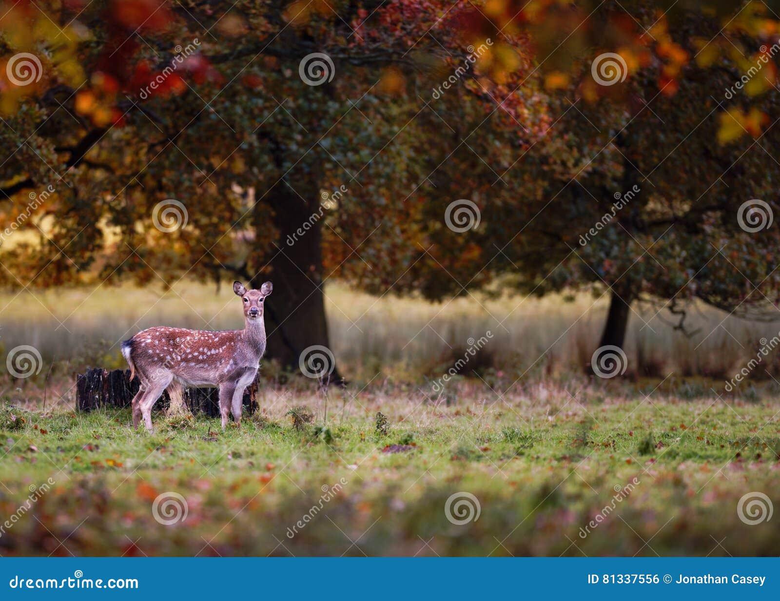 Damhirsche in Autumn Setting