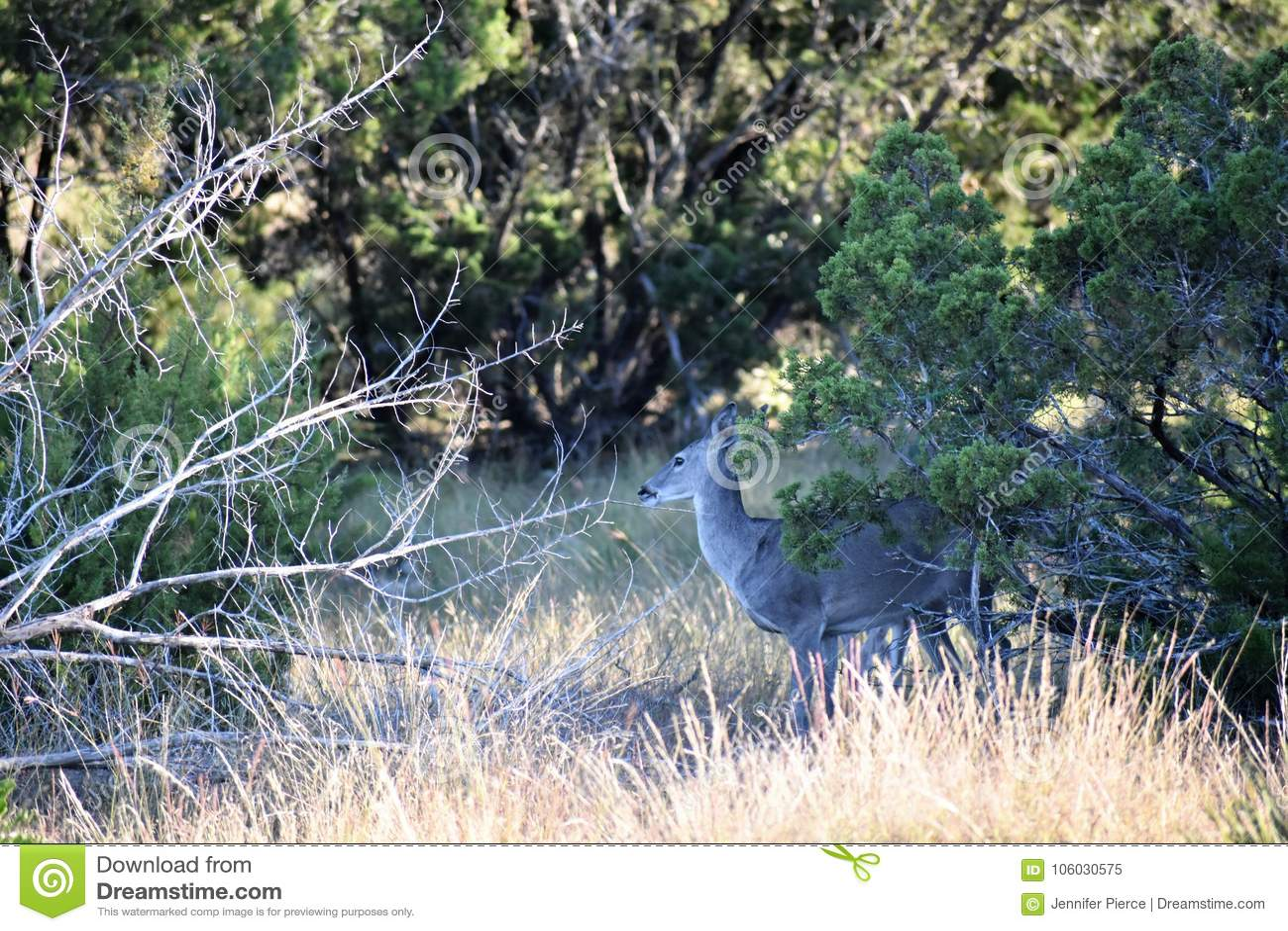 Damhirschkuh-Rotwild des weißen Schwanzes