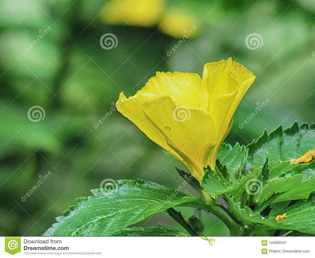 Damiana turnera diffusa yellow flowering herb is an aromatic stock damiana turnera diffusa yellow flowering herb is an aromatic shrub aging medicinal plant mightylinksfo