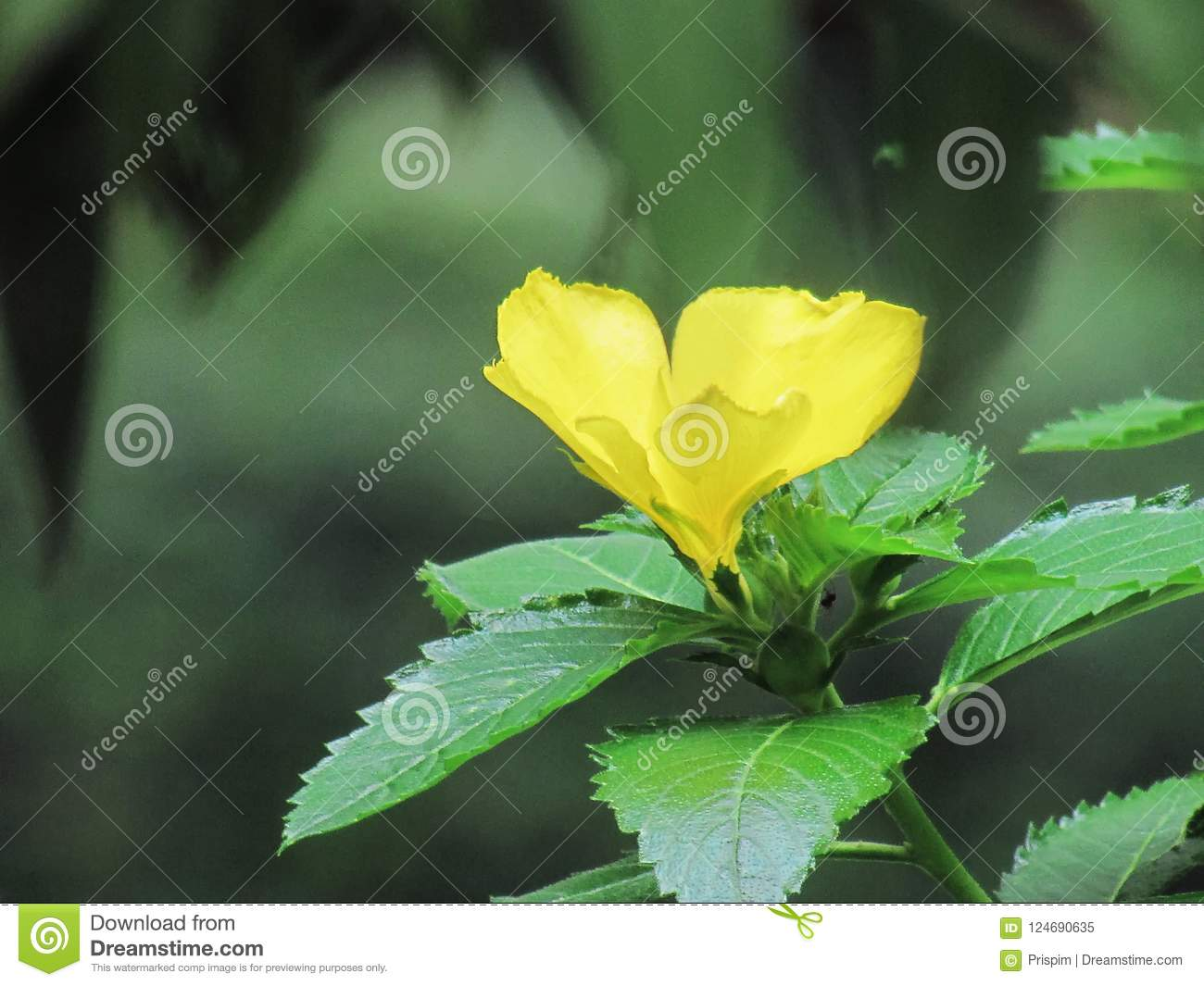 Damiana turnera diffusa yellow flowering herb is an aromatic stock download damiana turnera diffusa yellow flowering herb is an aromatic stock image image of mightylinksfo