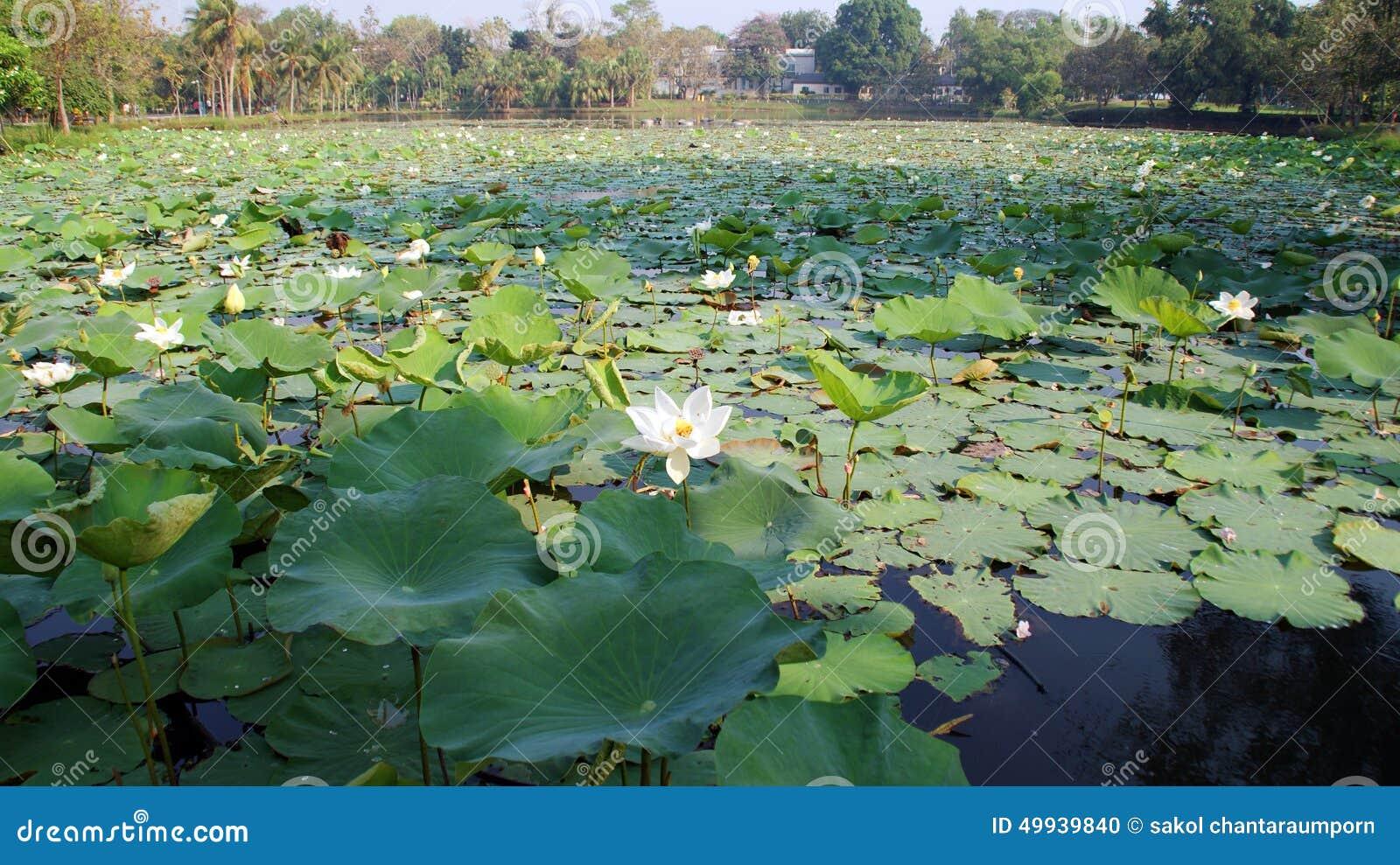 Damm med lotusblomma