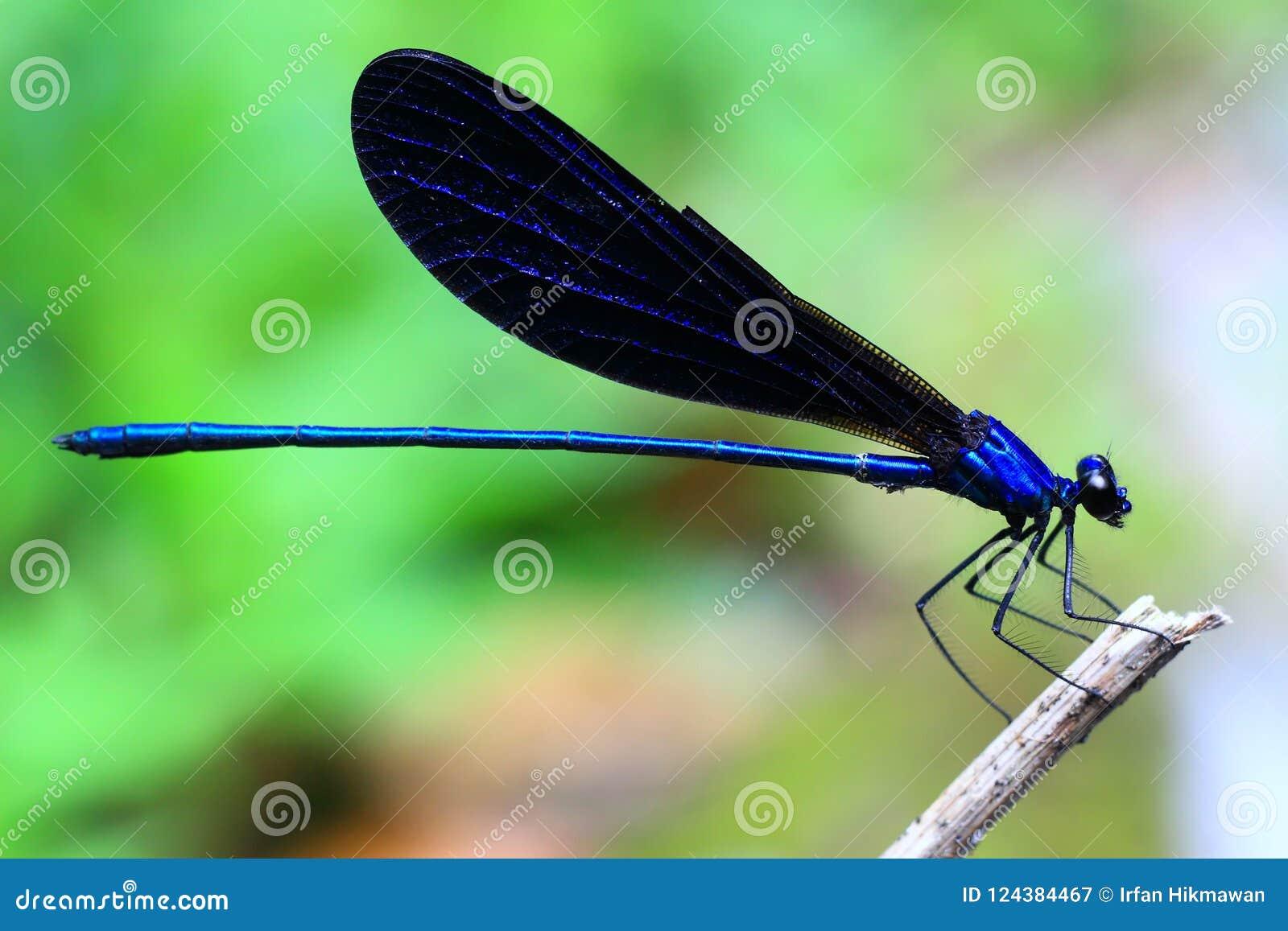 Damselflies Blue Color