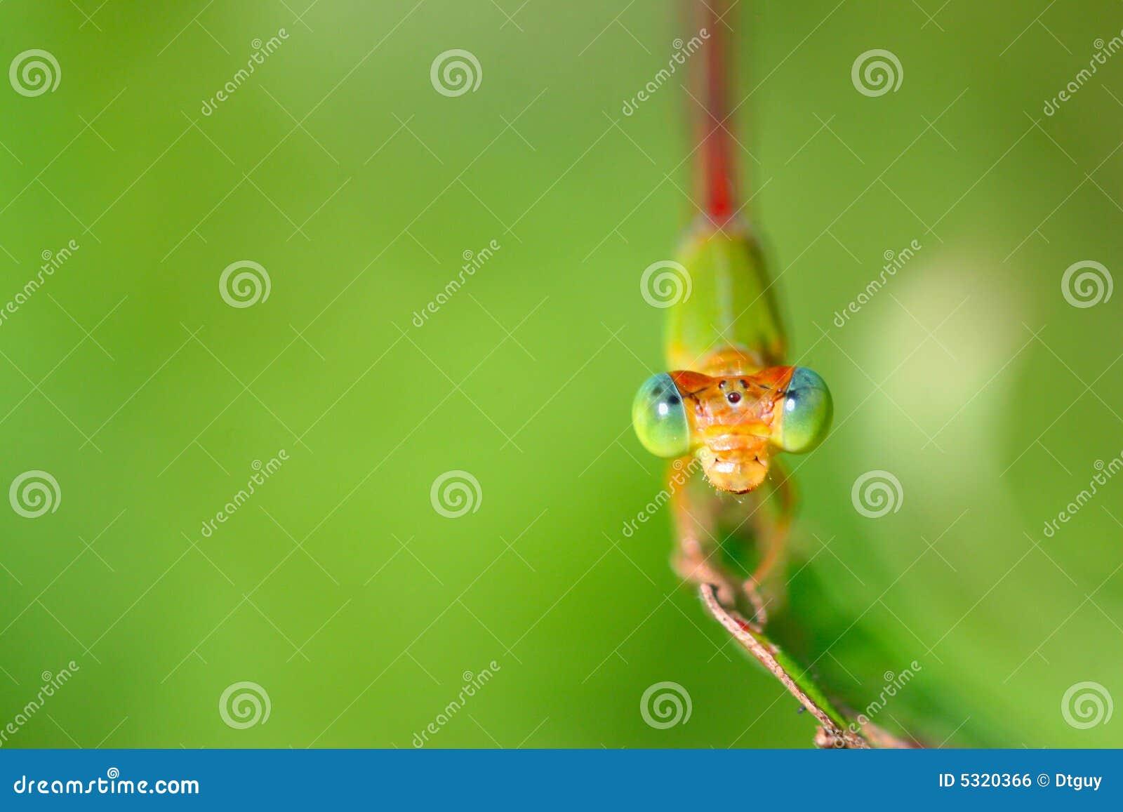 Download Damselfly fotografia stock. Immagine di biologia, naughty - 5320366