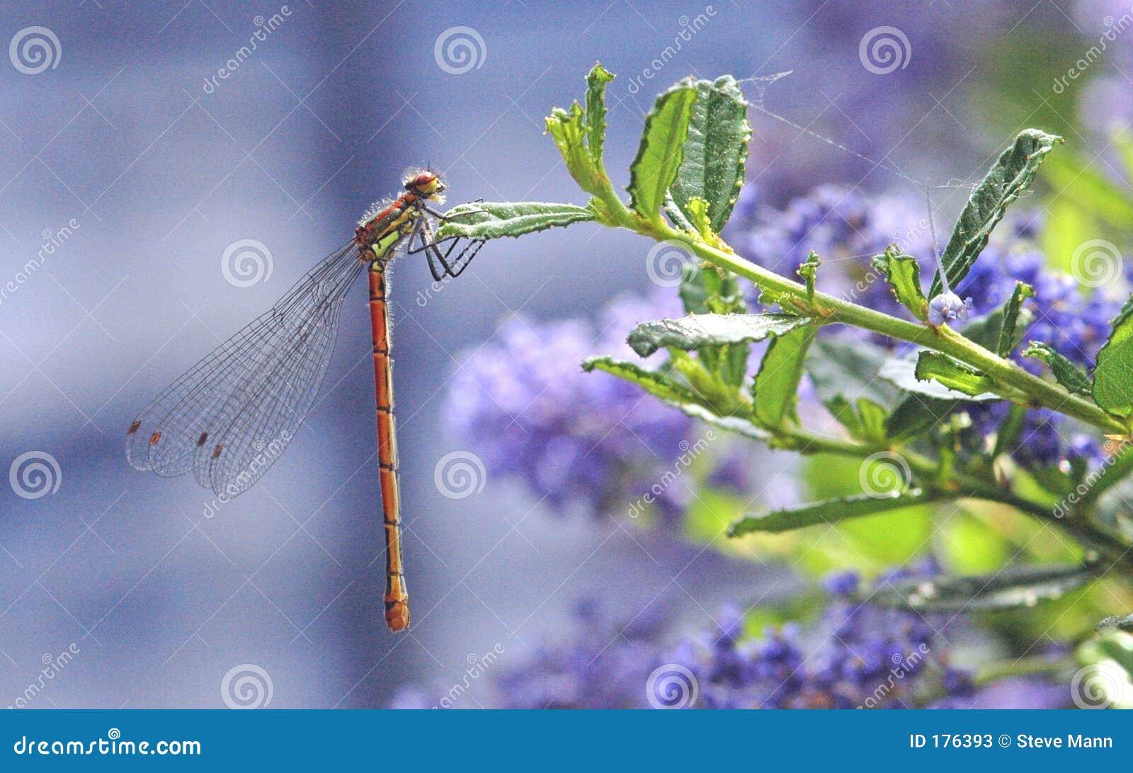 Damselfly en la planta de la lila