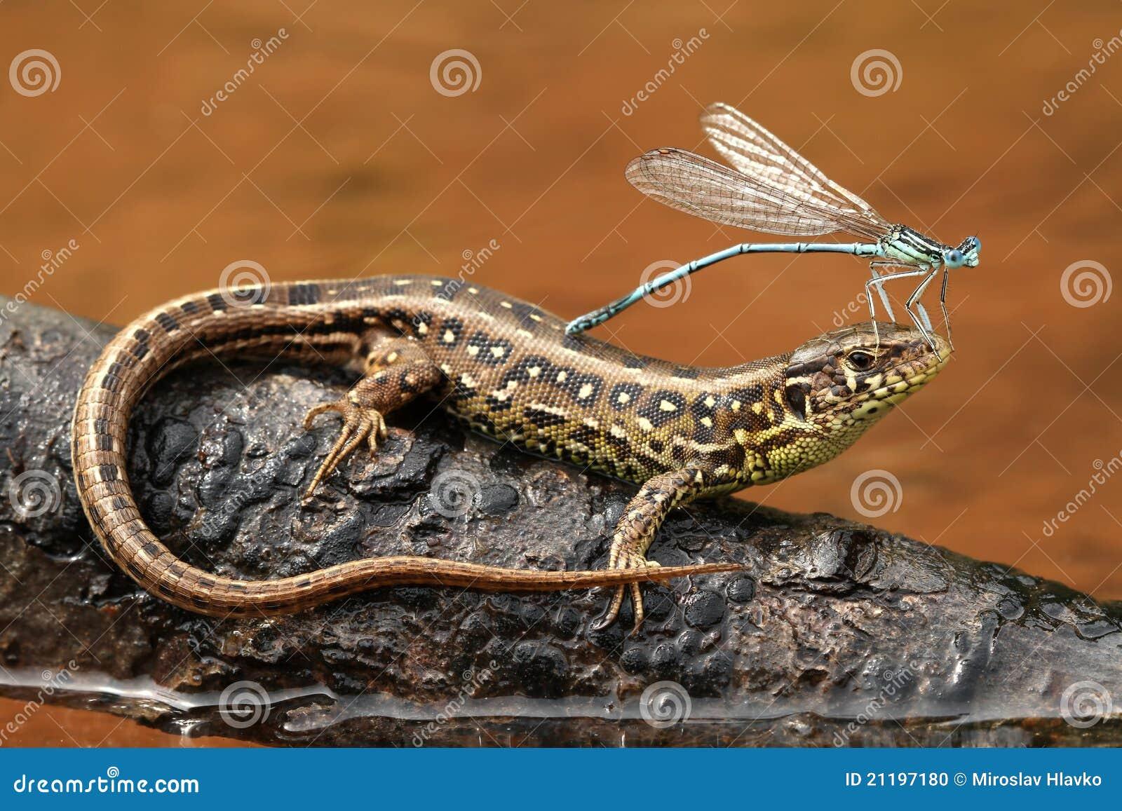 Damselfly on lizard