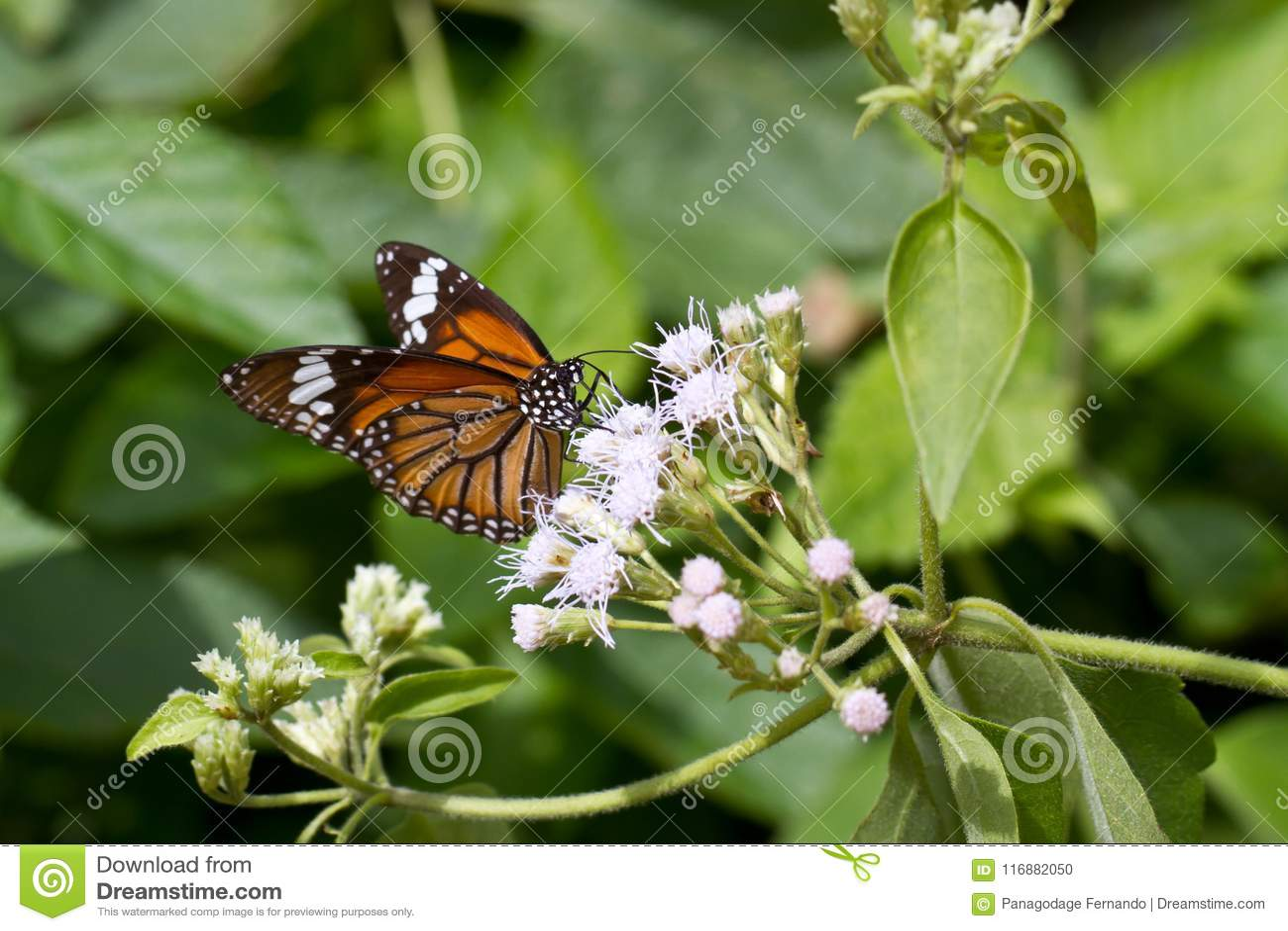Common Tiger Butterfly - Danaus genutia in Ksandalama Sri Lanka