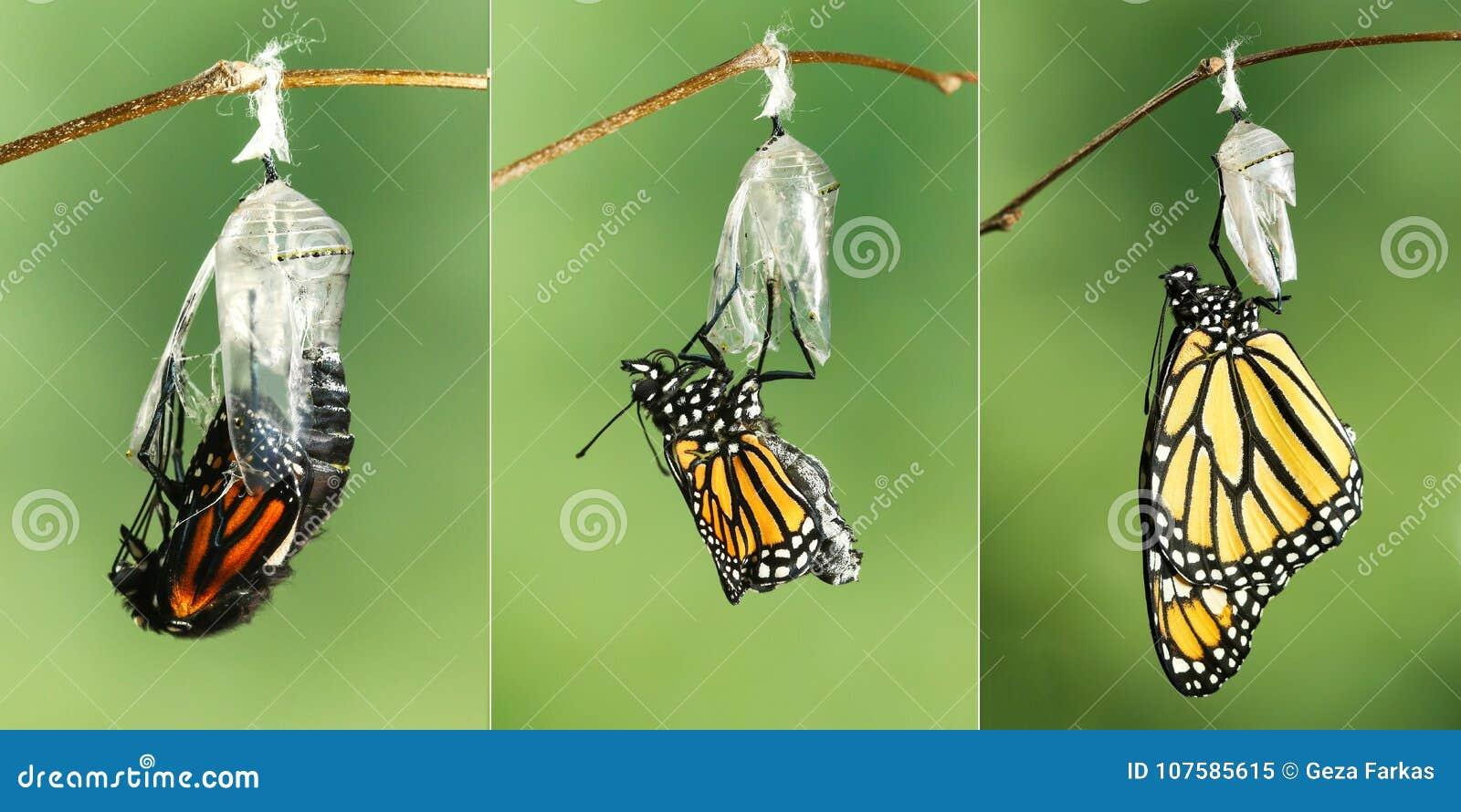 Danaus plexippus della farfalla di monarca che asciuga le sue ali dopo il eme