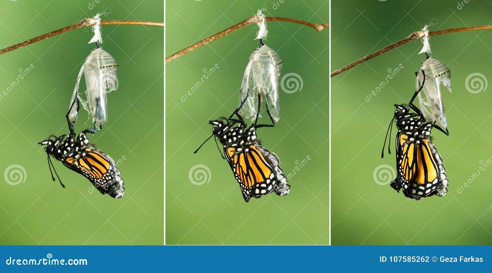 Danaus plexippus della farfalla di monarca che asciuga le sue ali dopo l EMER