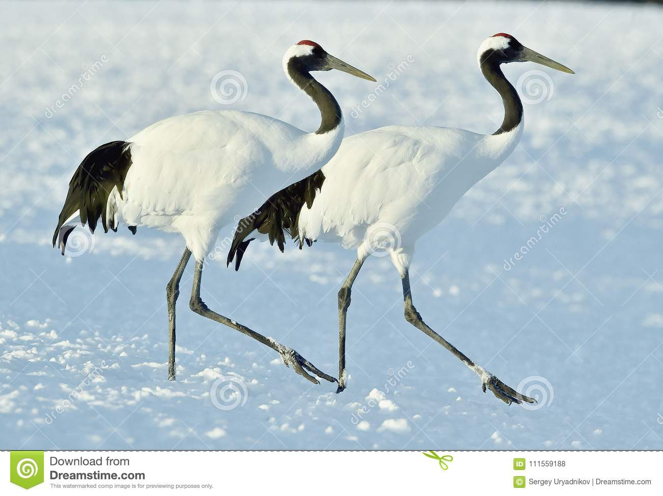 Dancing Cranes. The red-crowned crane also called the Japanese crane or Manchurian crane.