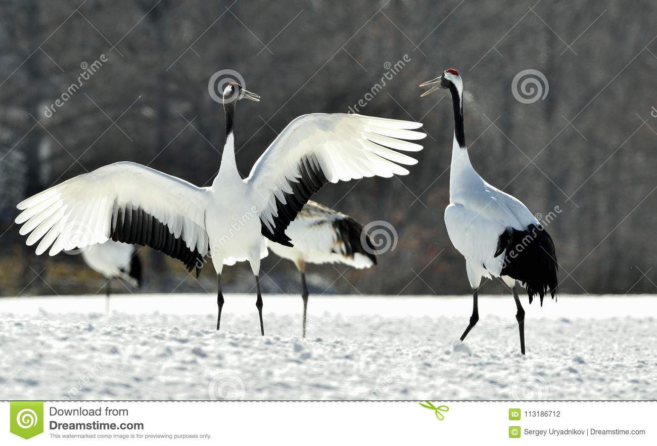 dancing cranes the red crowned cranes stock photo image of grus