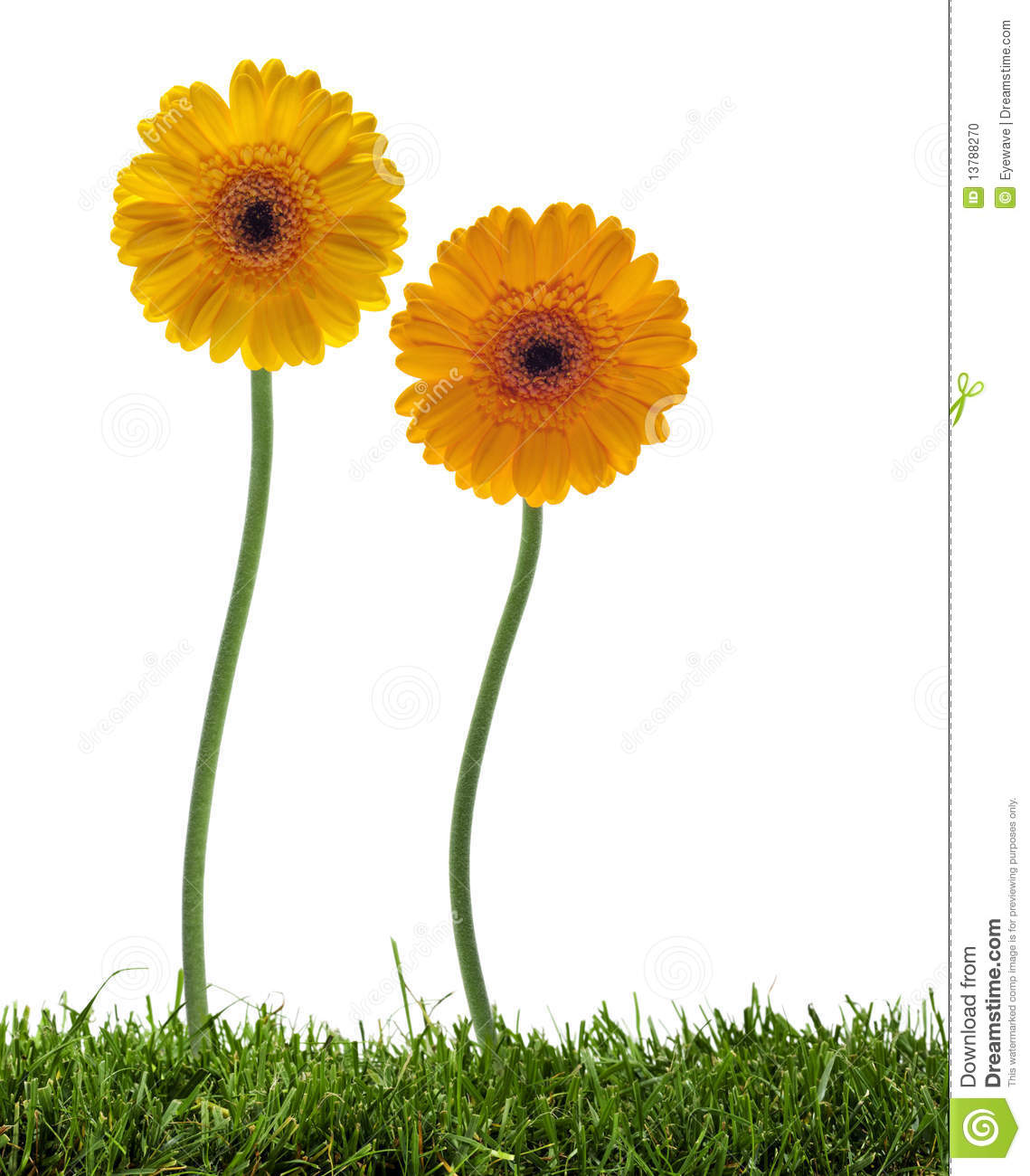 Dancing daisies on the lawn stock photo image of stem gerber dancing daisies on the lawn izmirmasajfo