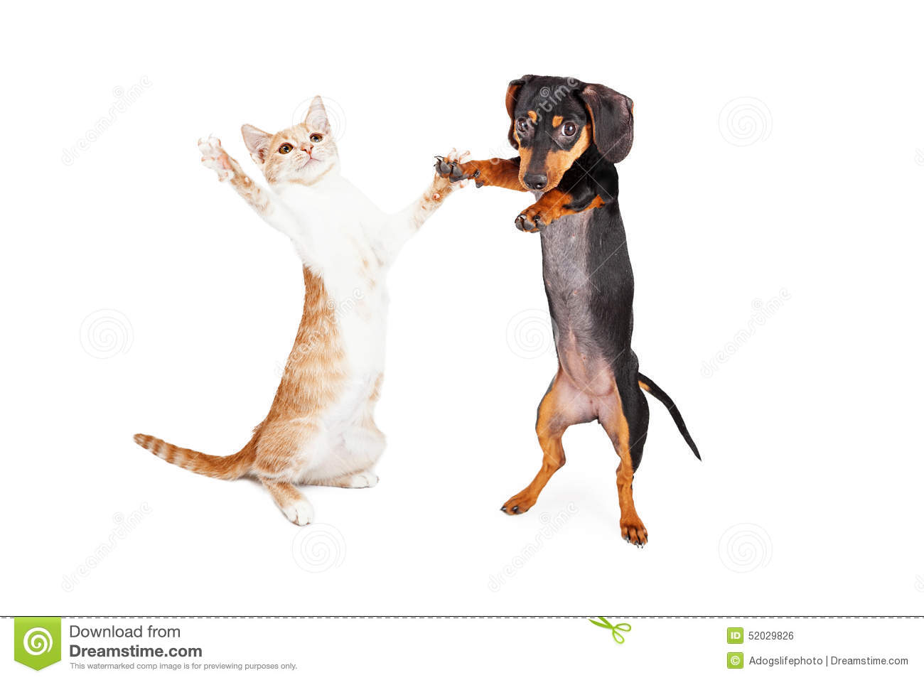Dancing Doxie Dog And Kitten Stock Photo Image Of Animal Breed