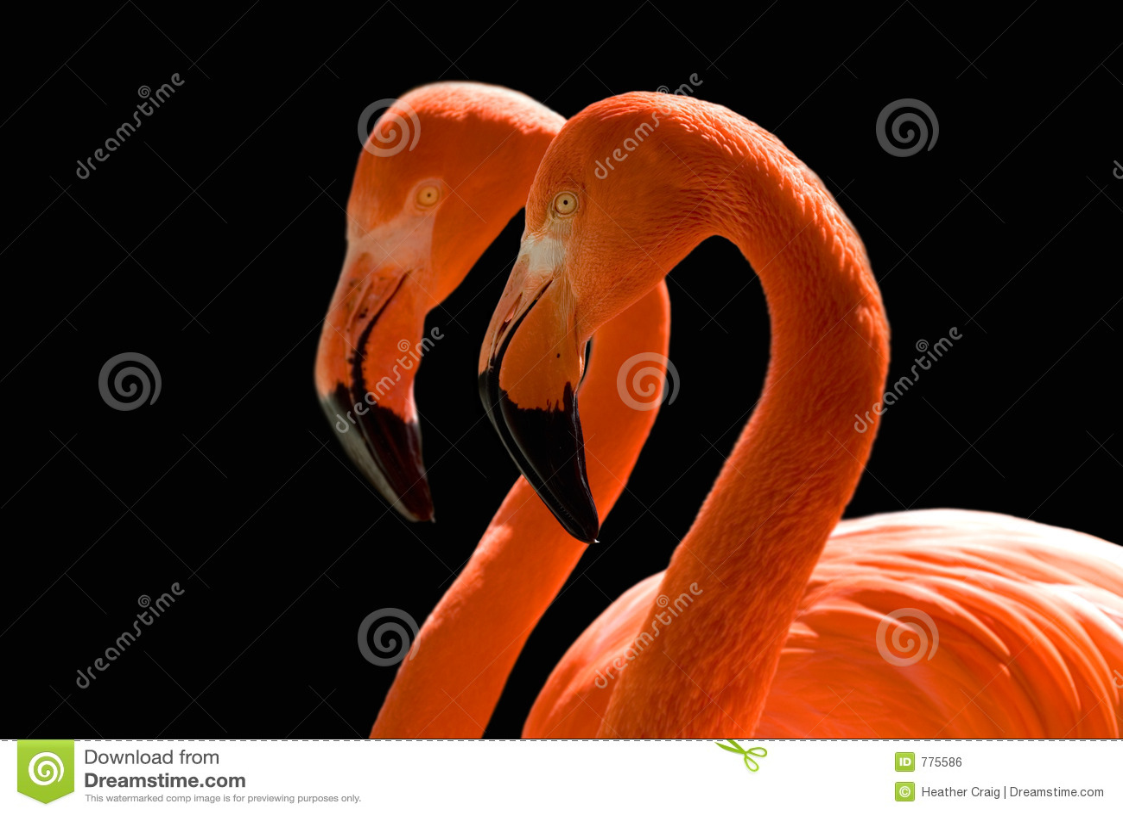 Dancing Flamingos on Black