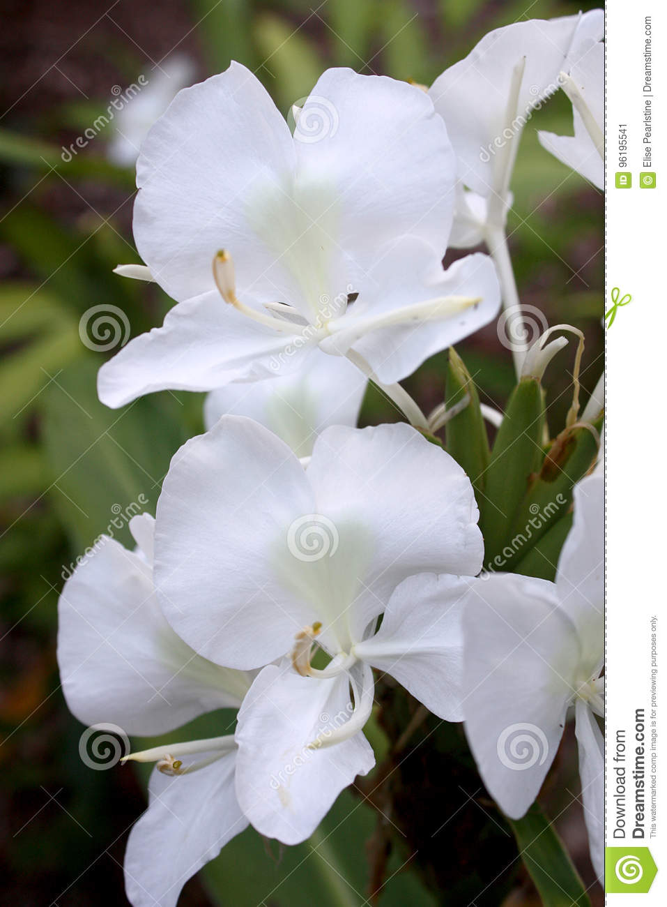 Butterfly ginger hedychium coronarium with white flowers stock image download butterfly ginger hedychium coronarium with white flowers stock image image of flower floral mightylinksfo