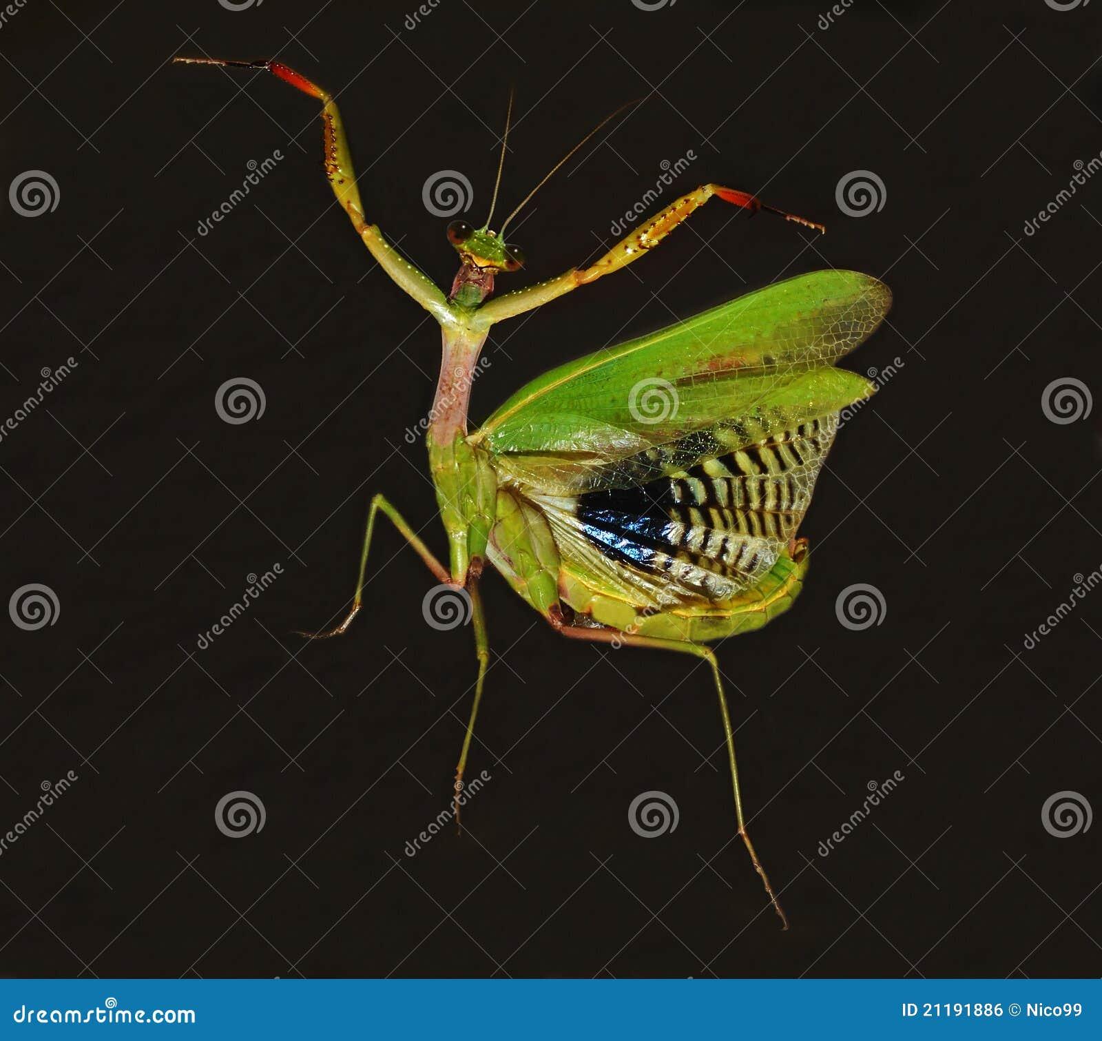 dancing praying mantis