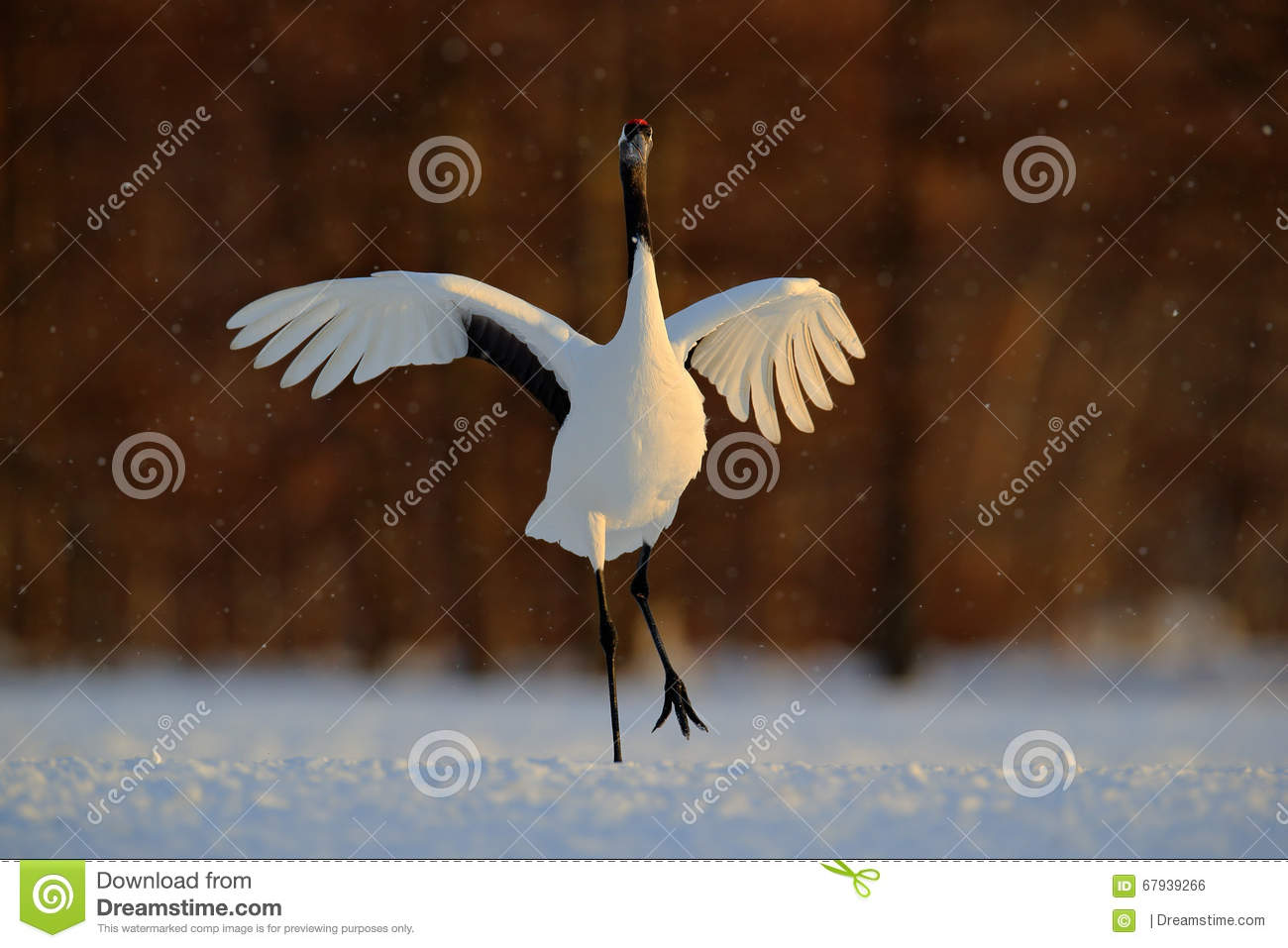 Dancing white bird Red-crowned crane, Grus japonensis, with open wing, with snow storm, during sunset, Hokkaido, Japan