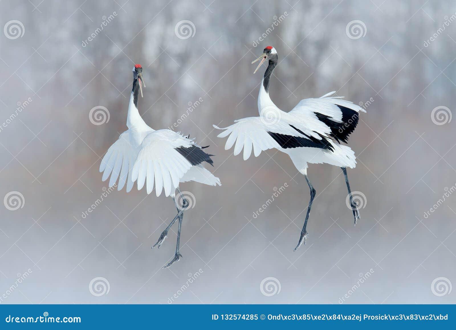 Dancingowa para Koronujący żuraw z otwartymi skrzydłami, zima hokkaido, Japonia Śnieżny taniec w naturze Koperczaki piękna ampuła