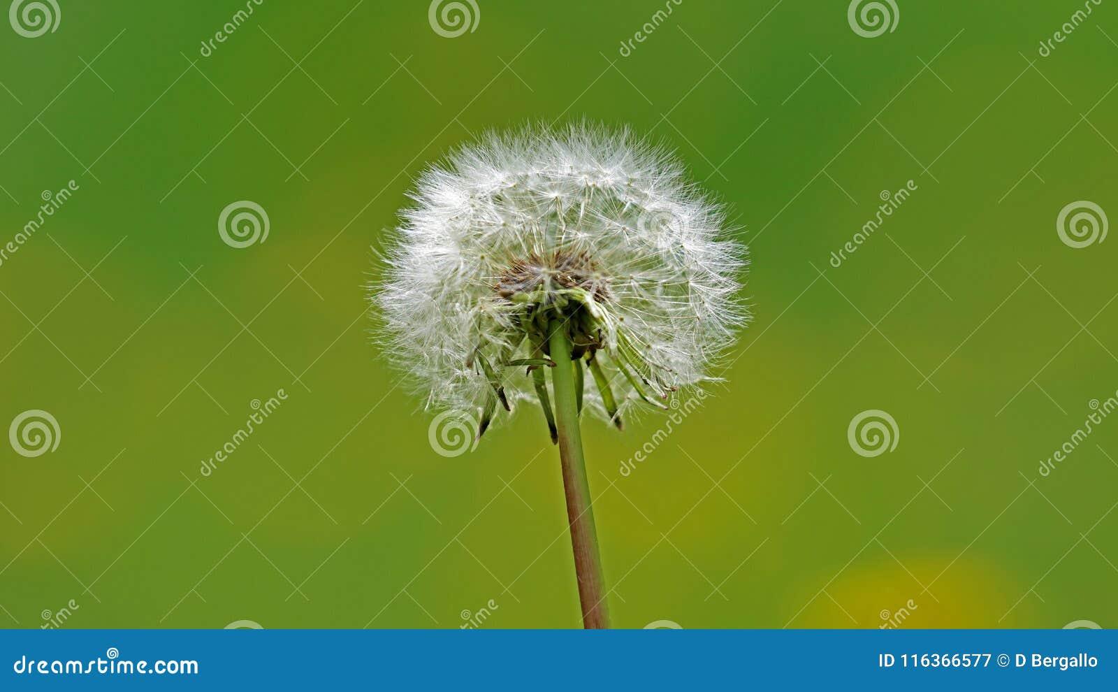 Dandelion Beautiful Unique Yellow Flower Weed Stock Image Image