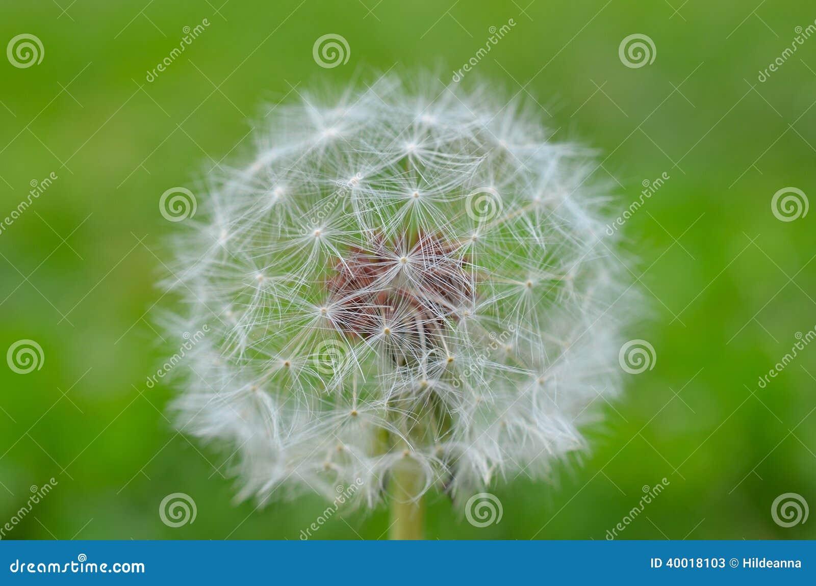 dandelion blow ball stock image image of blowball dandelion 40018103