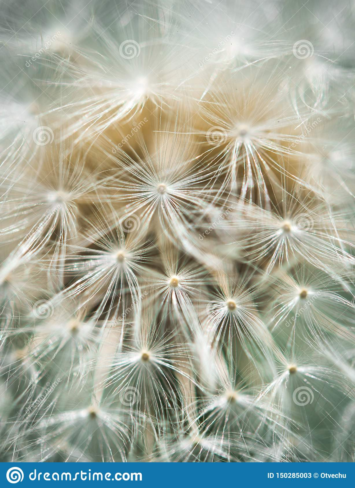 Dandelion blowball close-up in soft colors