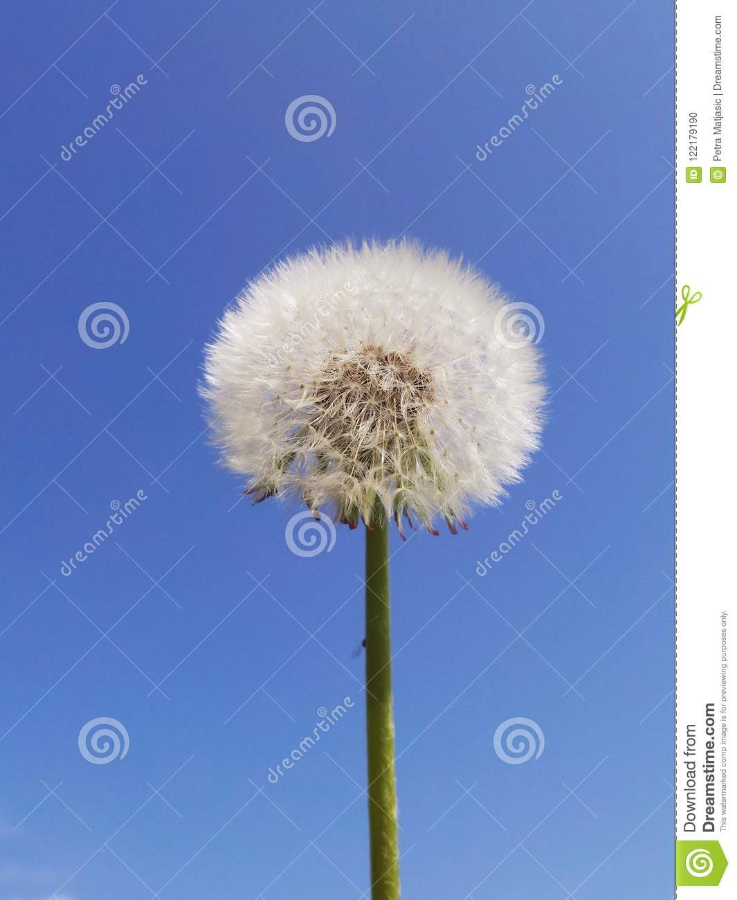 Dandelion Clock With Blue Sky In Background Stock Photo