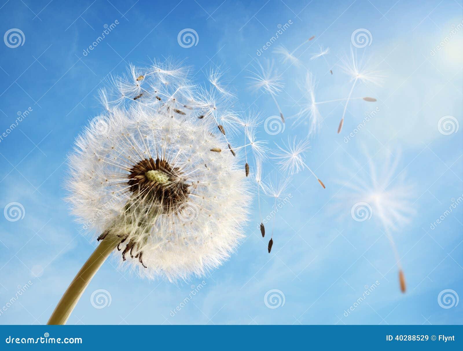 Download Dandelion Clock Dispersing Seed Stock Image - Image of color, flower: 40288529