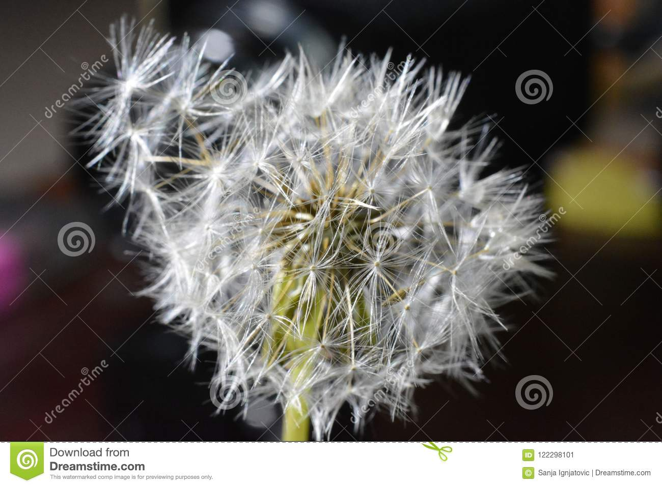 Dandelion closely
