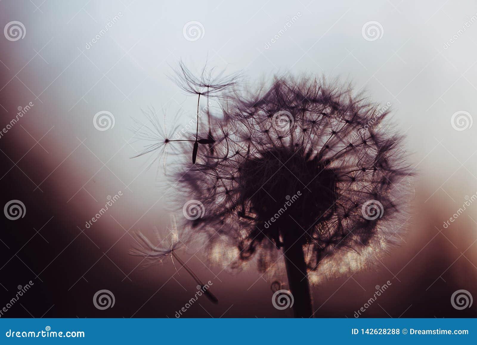 Dandelion in dark color