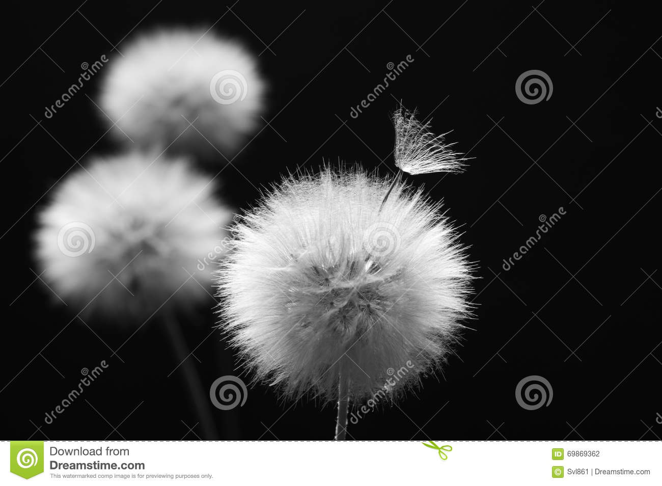 Dandelion On Dark Stock Photo Image Of Flower