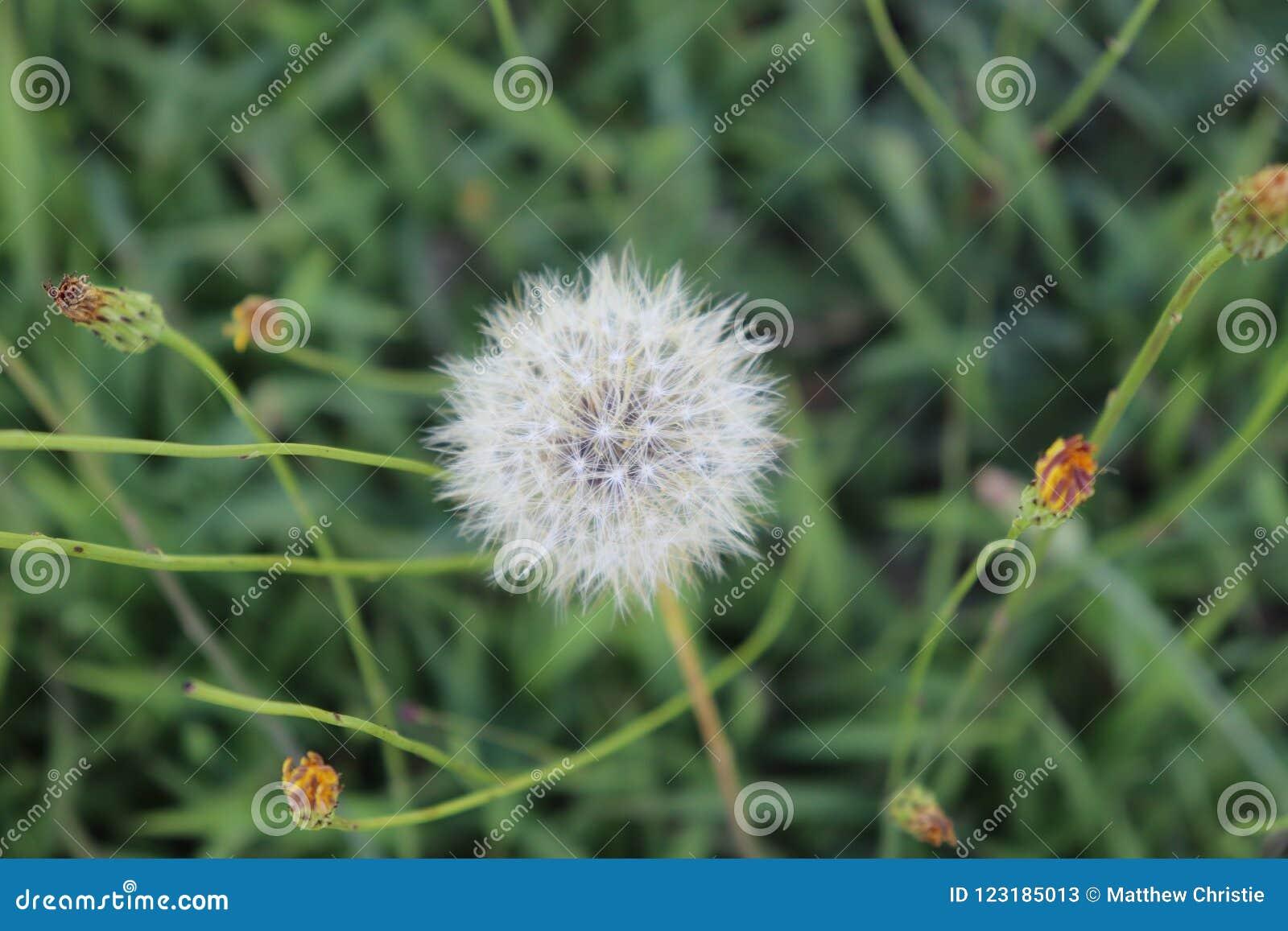 Dandelion, Dead, White, Grass, Outside